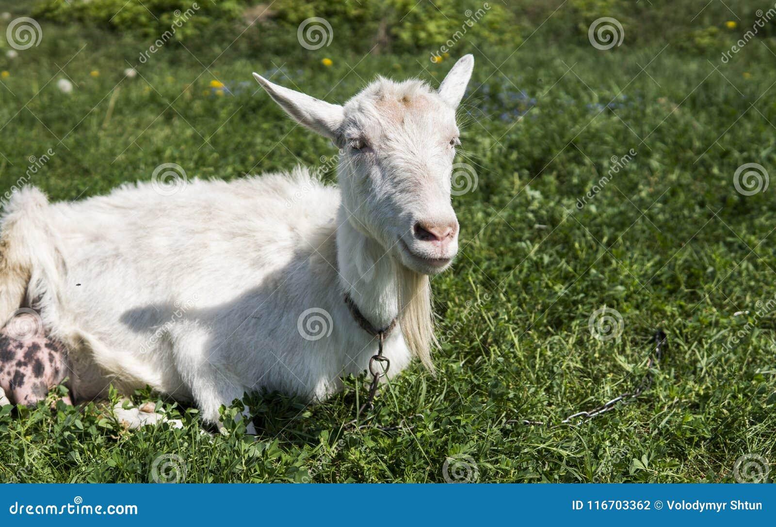 Biała śmieszna kózka na łańcuchu z długim brody pasaniem na zielonym paśnika polu w słonecznym dniu _ Ukraińskie kózki