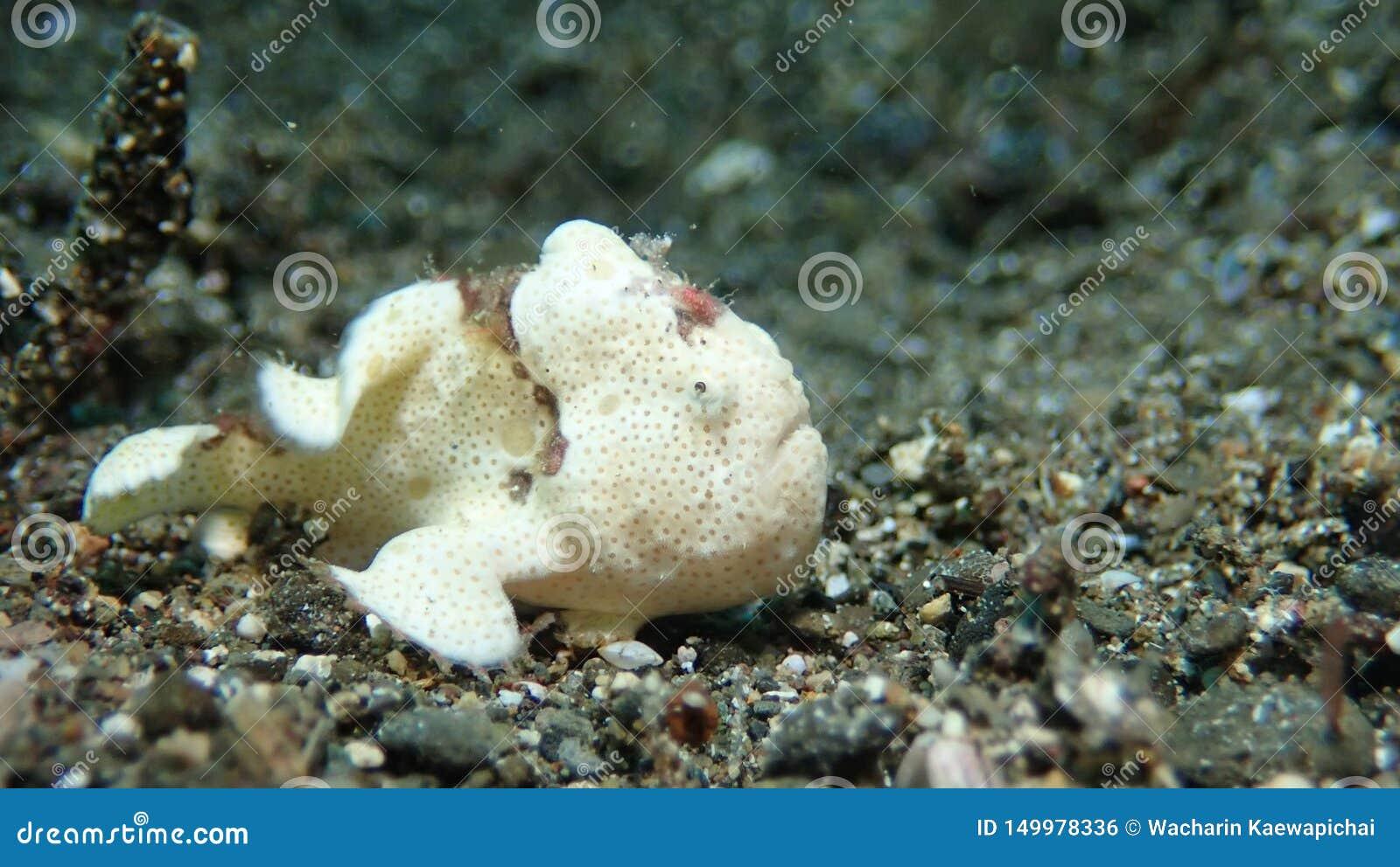 Biała żaby ryba w Anilao Filipińczyk