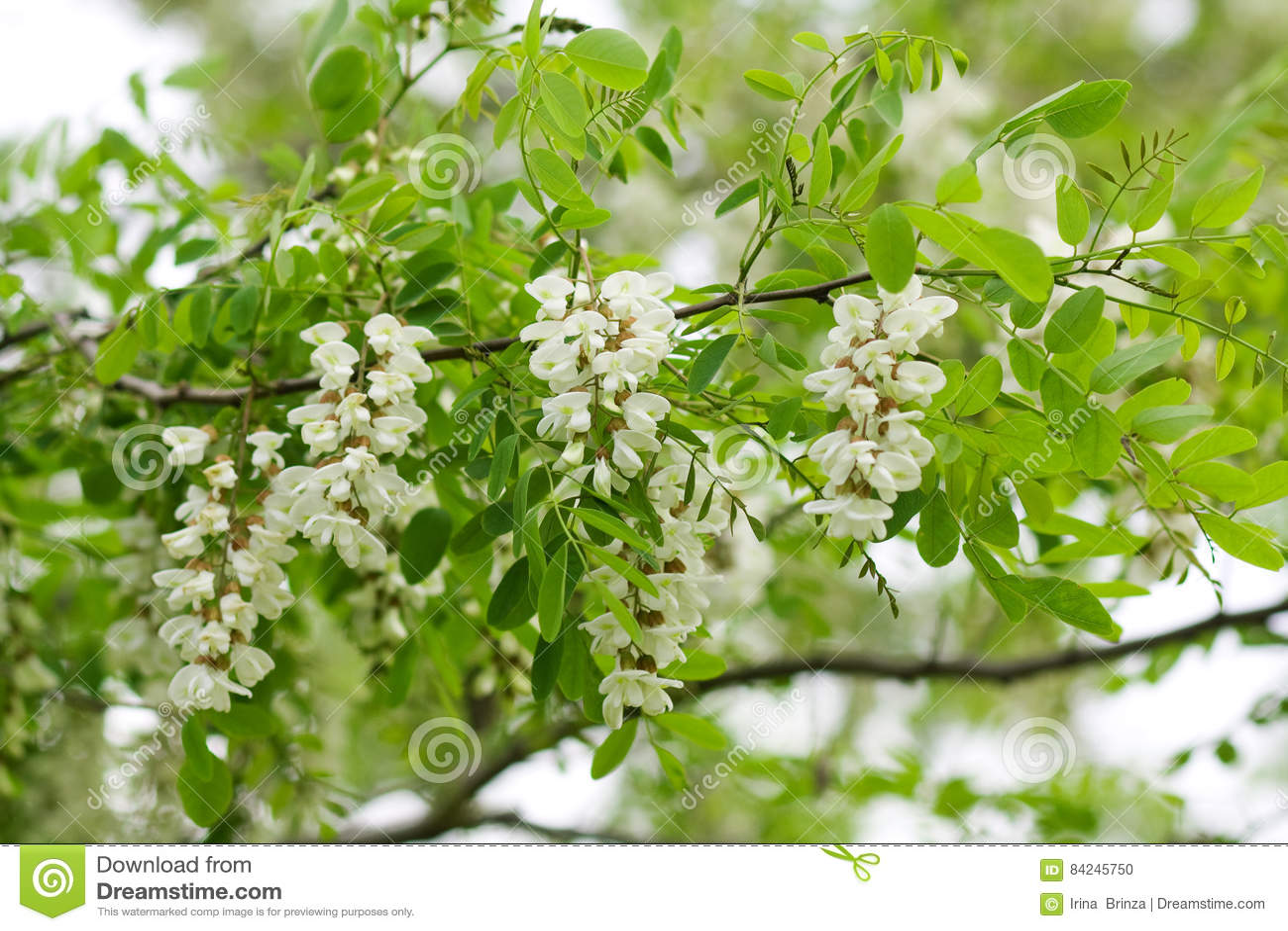 Biała akacja