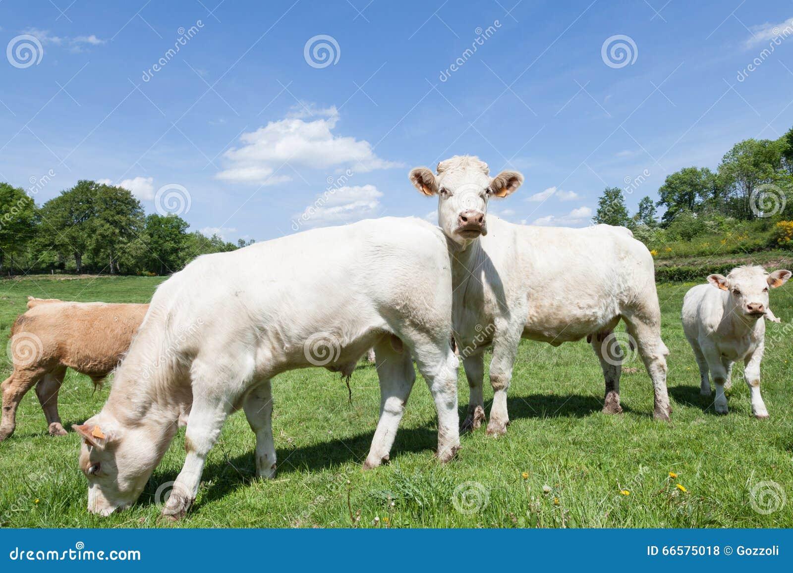 Biała Charolais wołowiny krowa z dwa łydkami w bujny zieleni paśniku