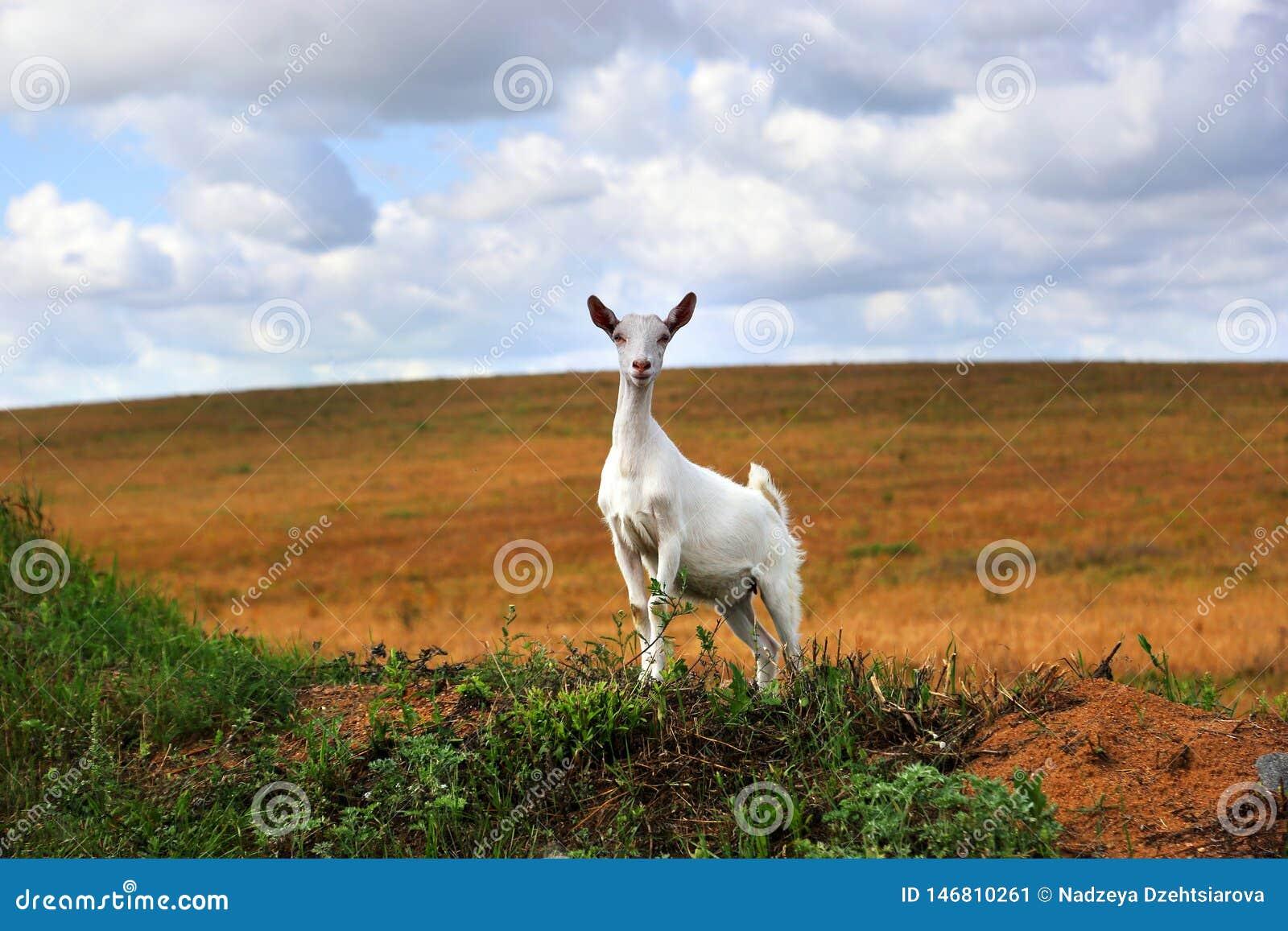 Biała kózka w polu