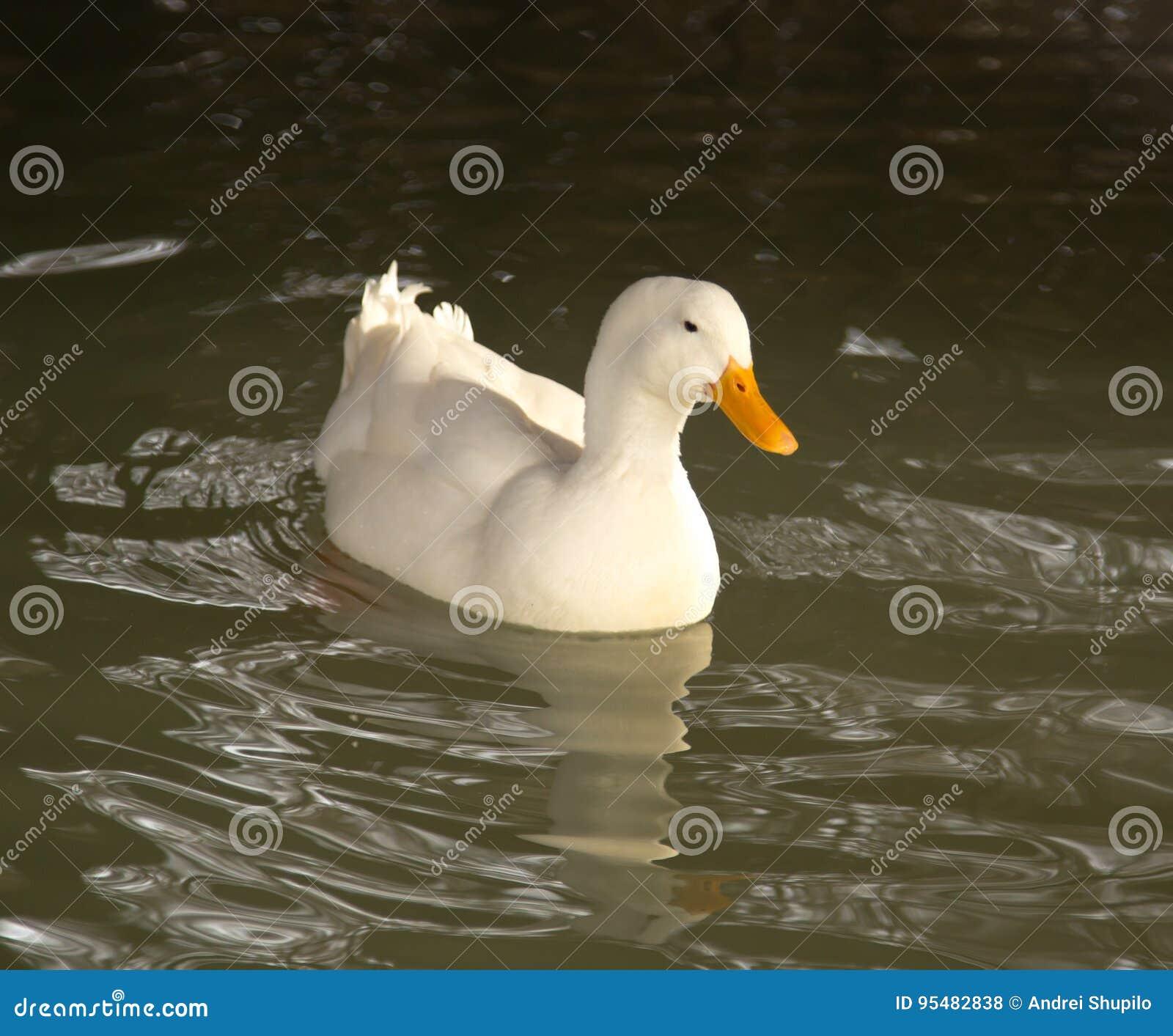 Biała kaczka w wodzie