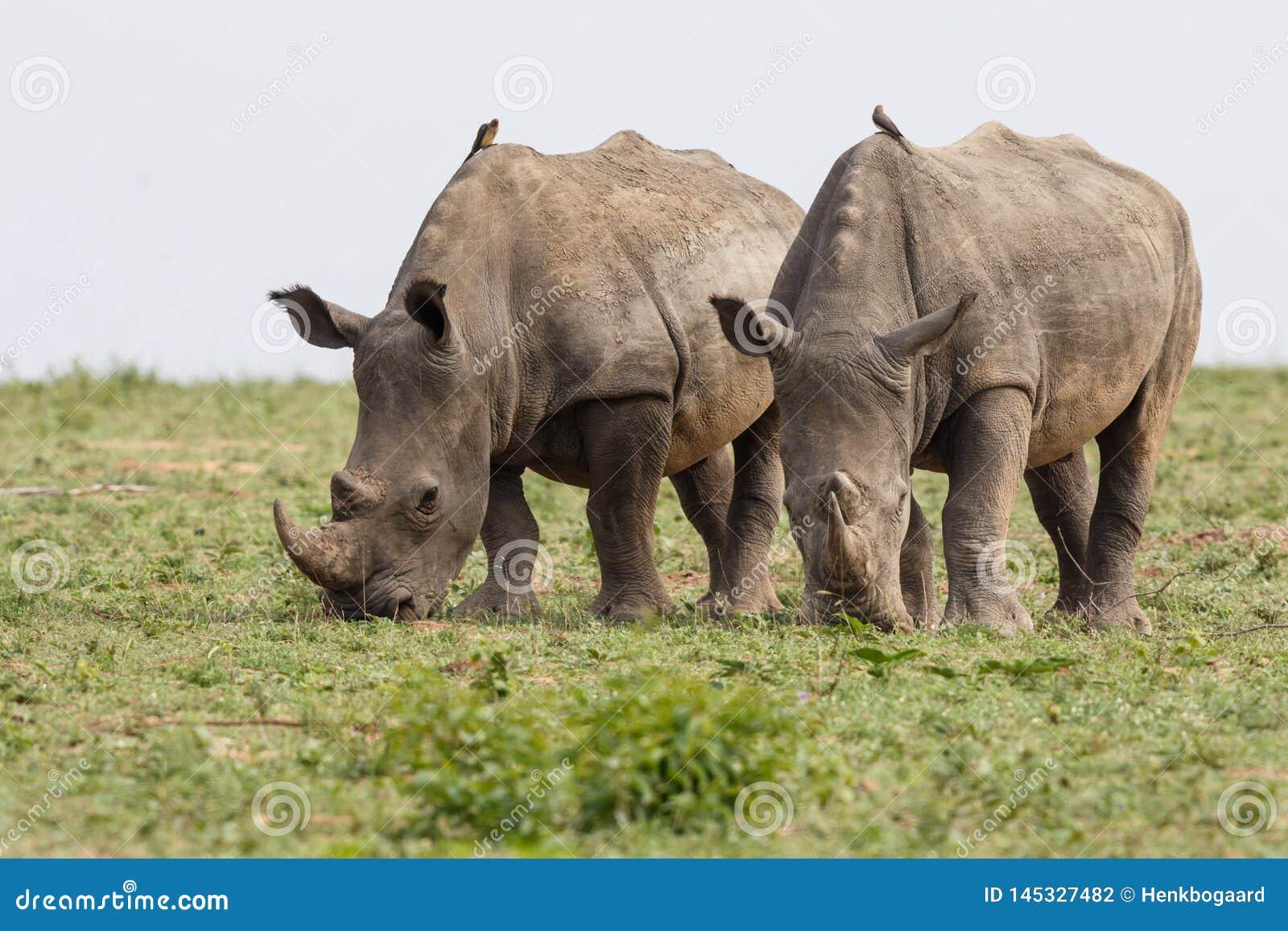 Biała nosorożec w Południowa Afryka