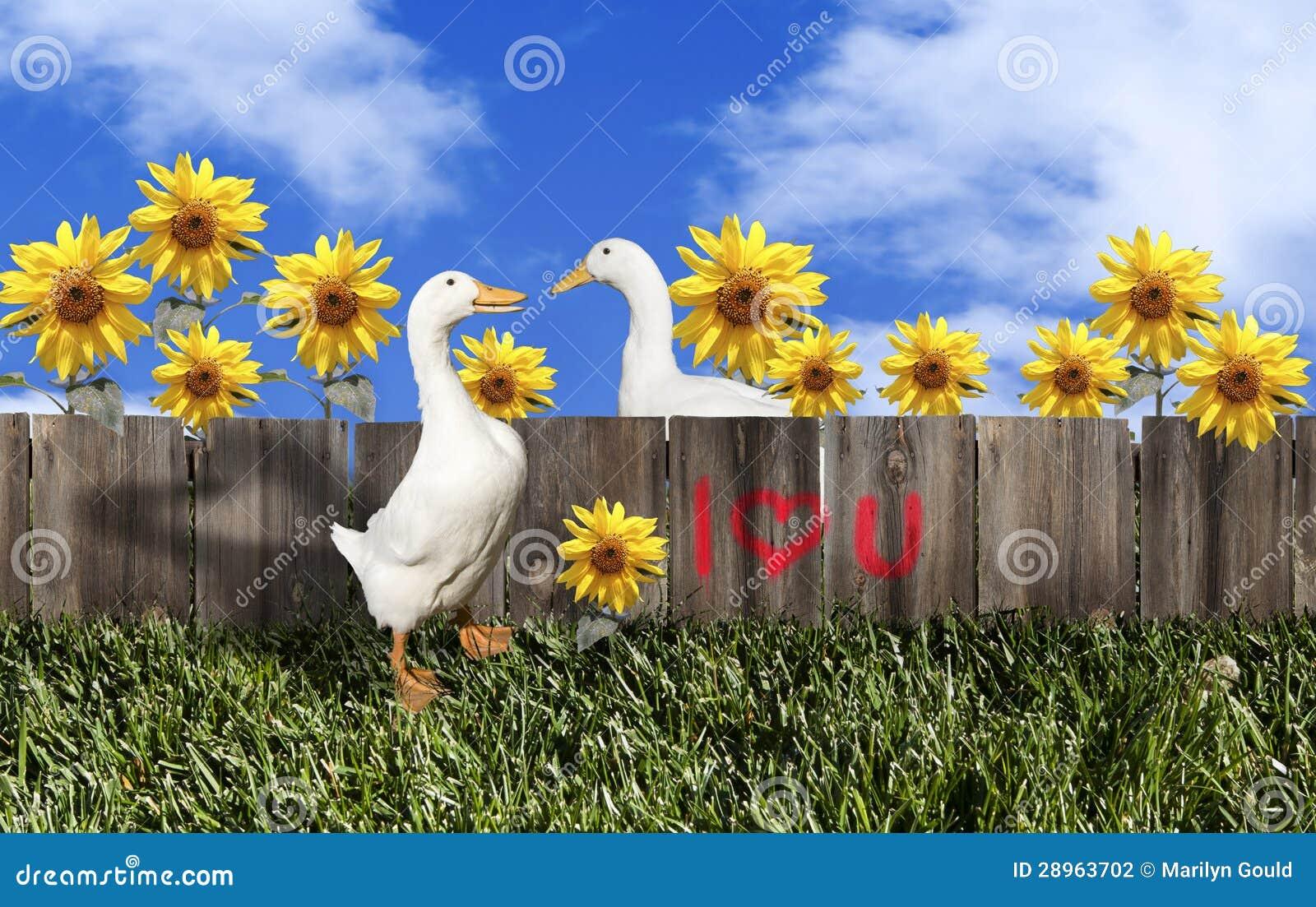 Biała Pekin kaczki walentynki para
