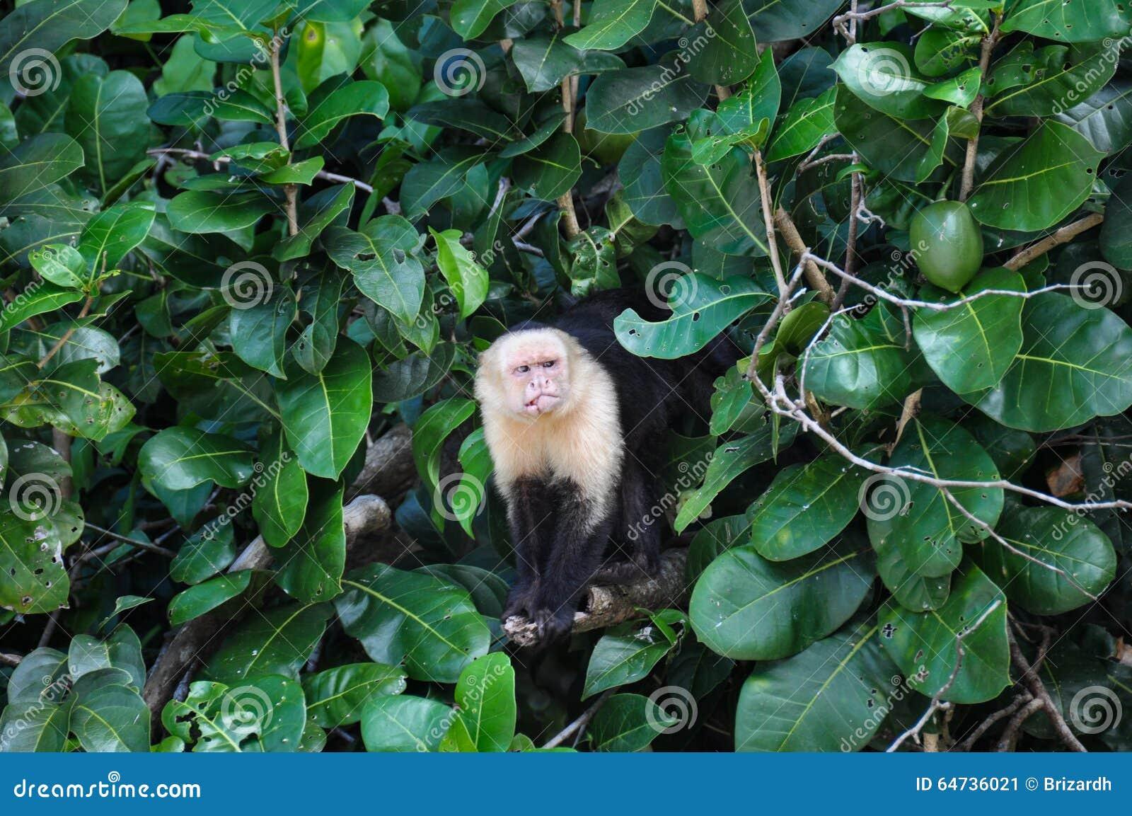 Biała Stawiająca czoło Capuchin małpa w Manuel Antonio parku narodowym, Cos