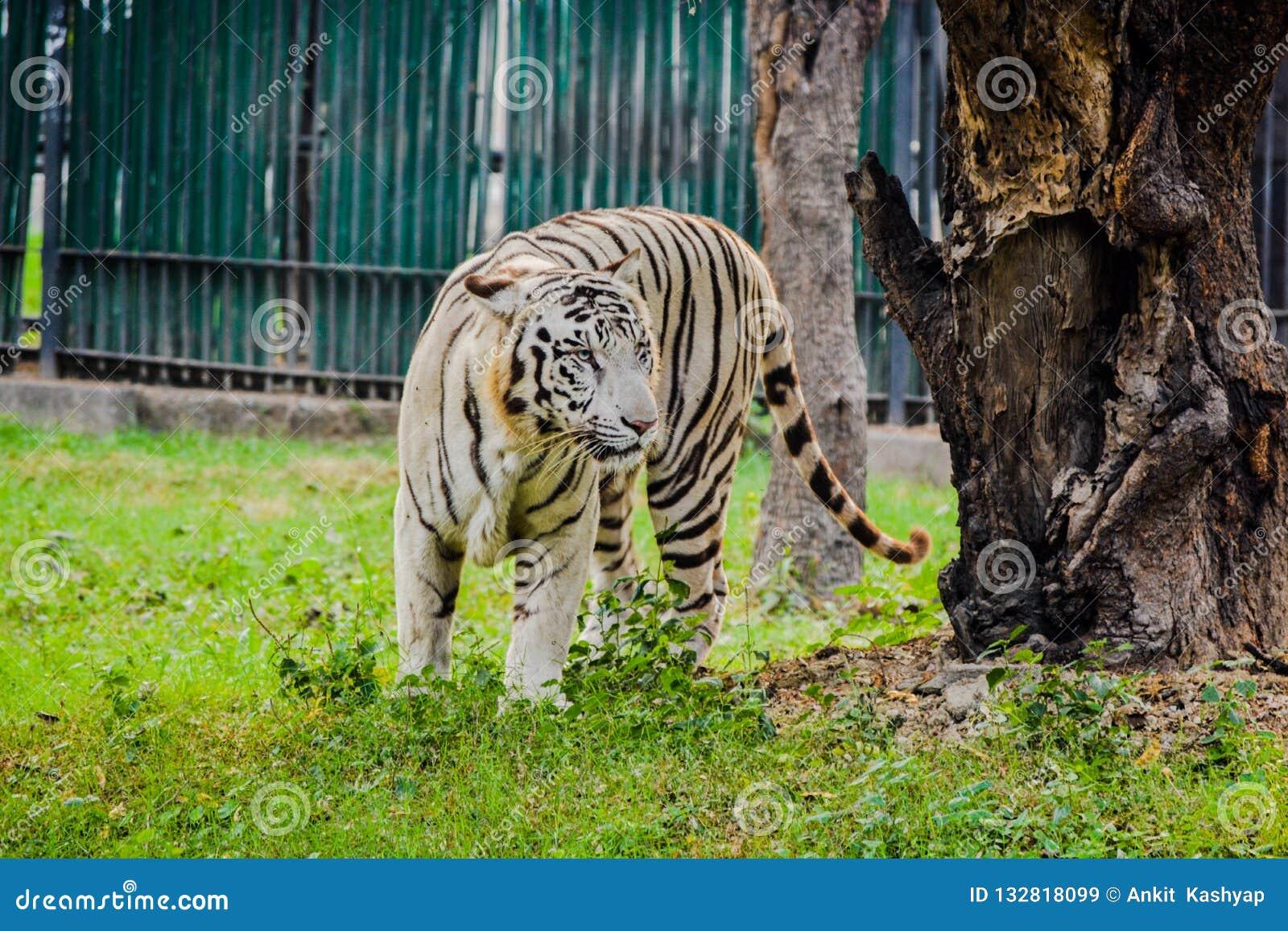 Biała tygrysia pozycja w zoo