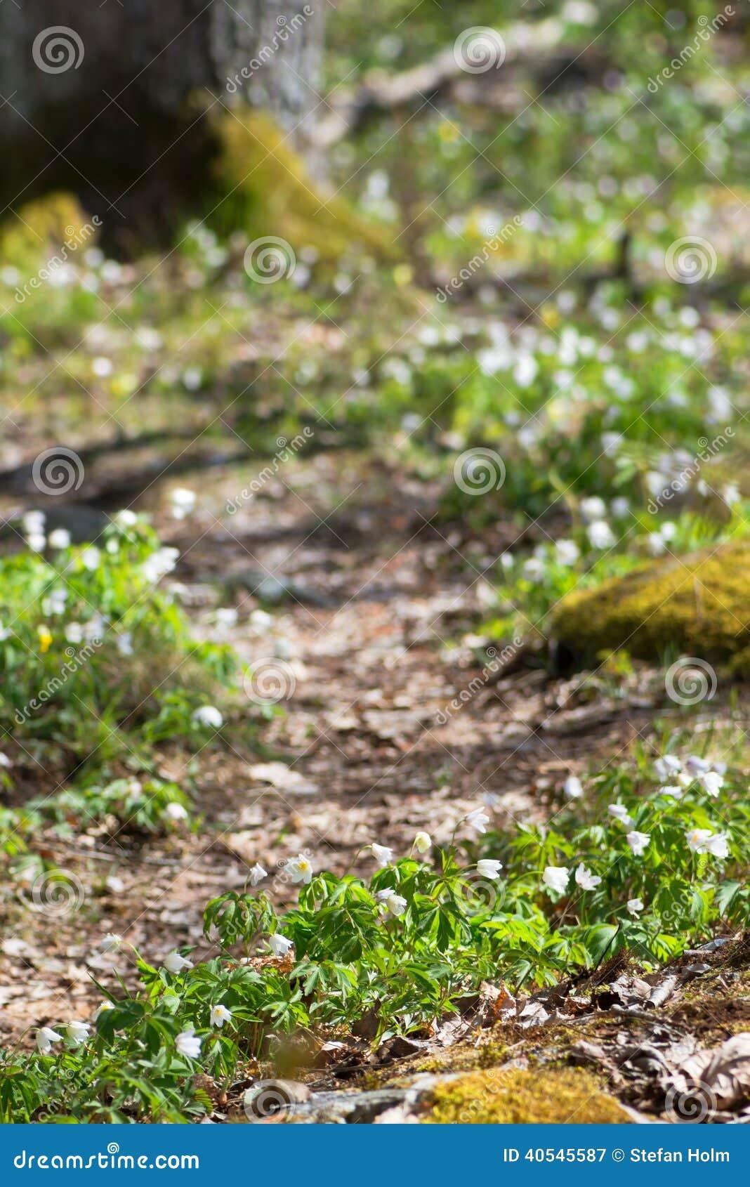 Biała wiosna kwitnie wzdłuż lasowej ścieżki