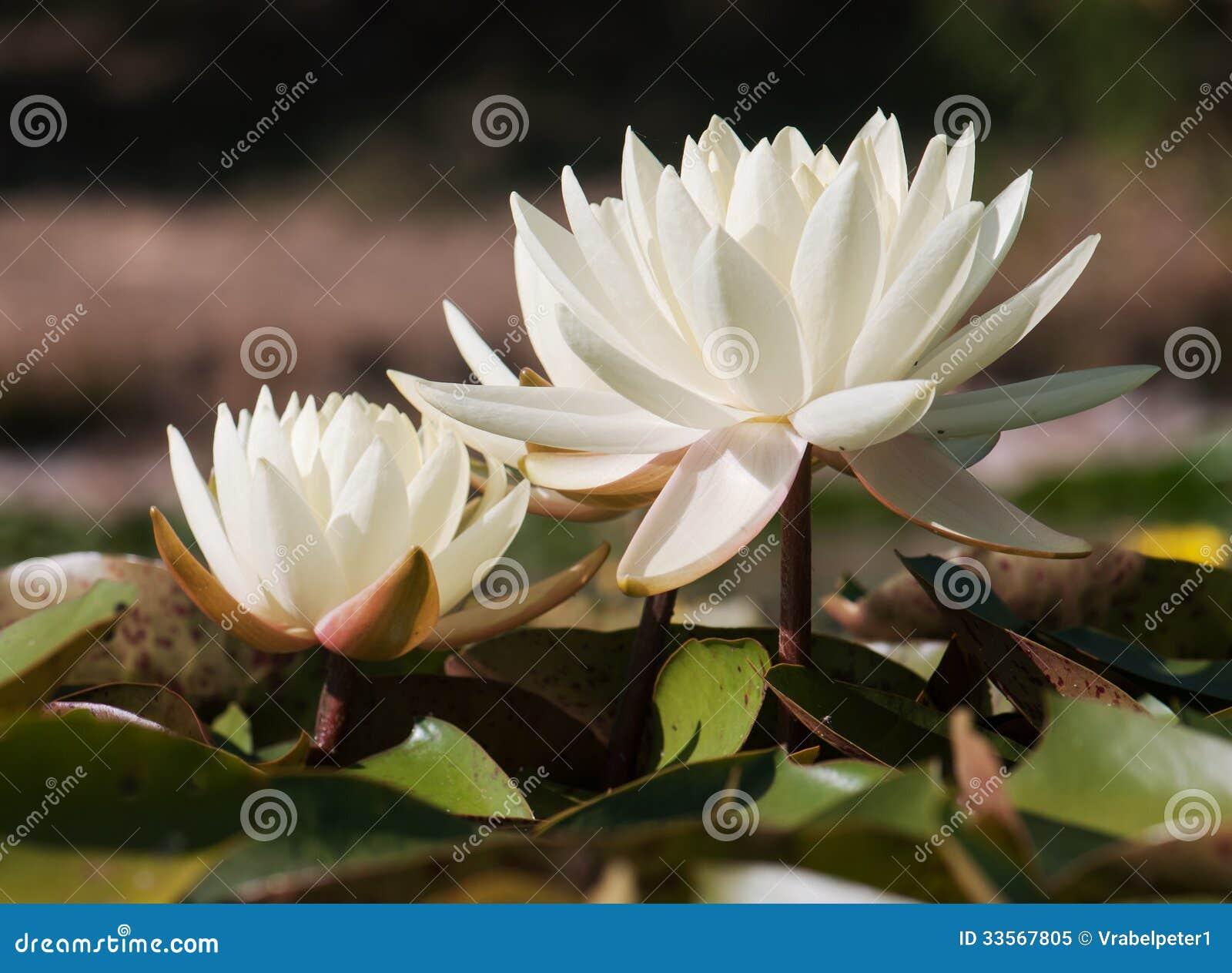 Biała wodna leluja w ogrodowym stawie