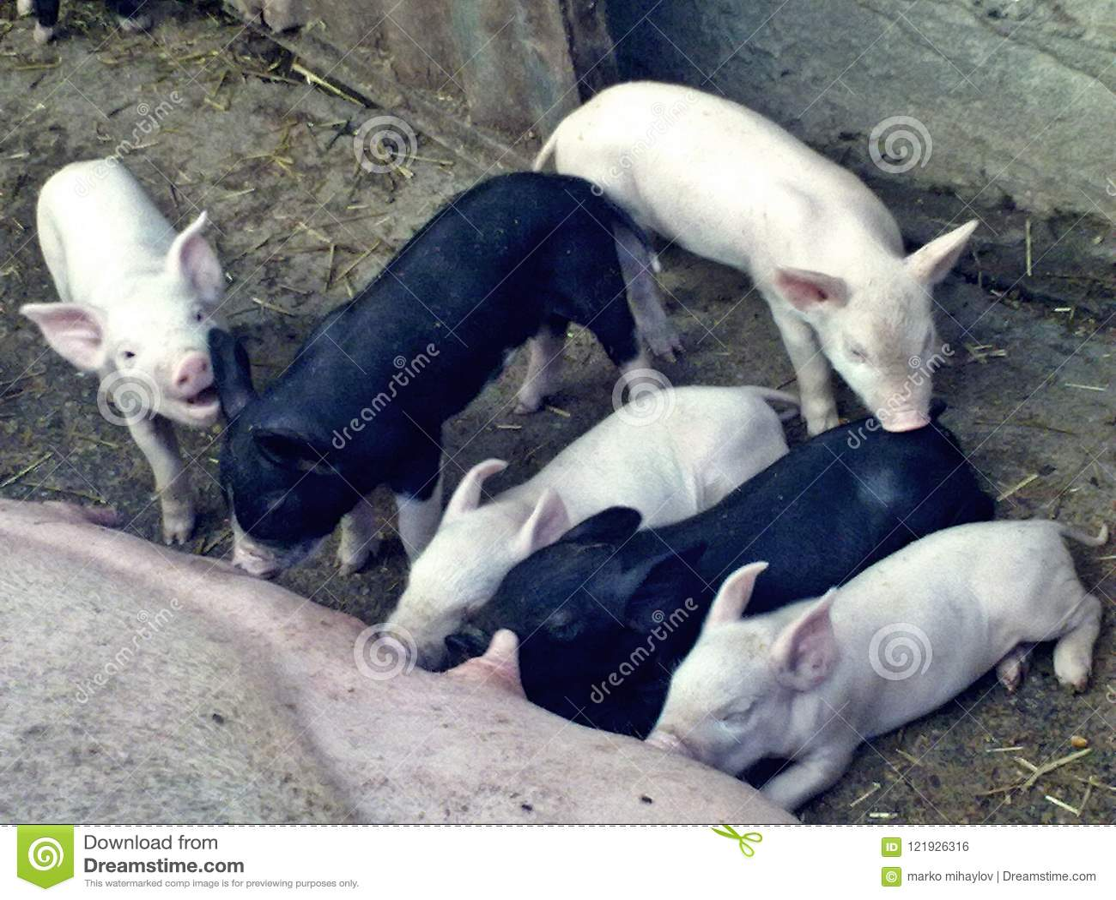 Białe I Czarne Śliczne świnie