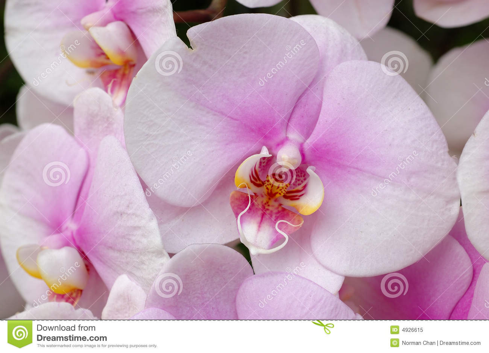Białe orchidee różowią
