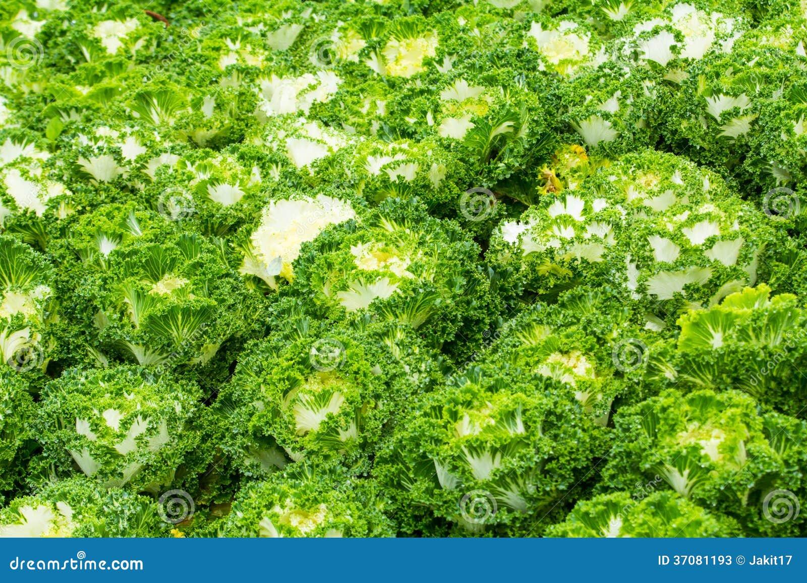 Download Białe Ornamentacyjne Kapust Rośliny Obraz Stock - Obraz złożonej z świeży, kolorowy: 37081193