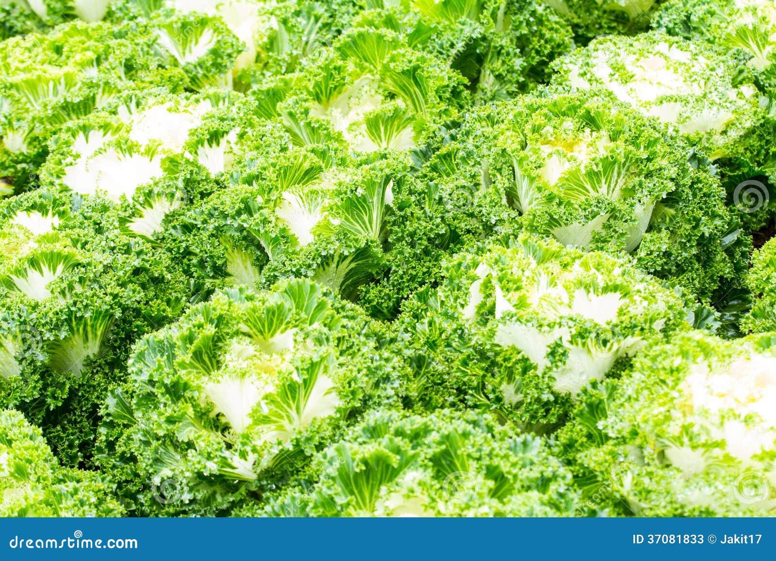 Download Białe Ornamentacyjne Kapust Rośliny Obraz Stock - Obraz złożonej z ornamental, tło: 37081833