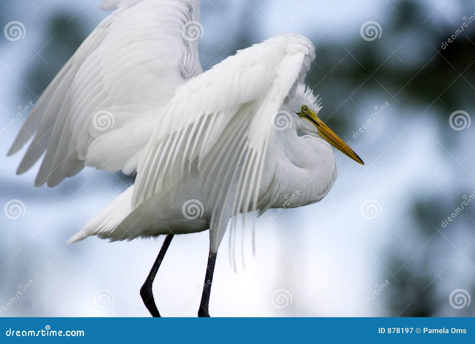 Białe pióra