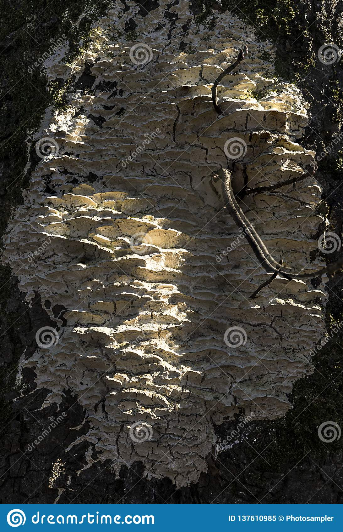 Białego drzewa gnicia grzybowy dorośnięcie na cisawym drzewie
