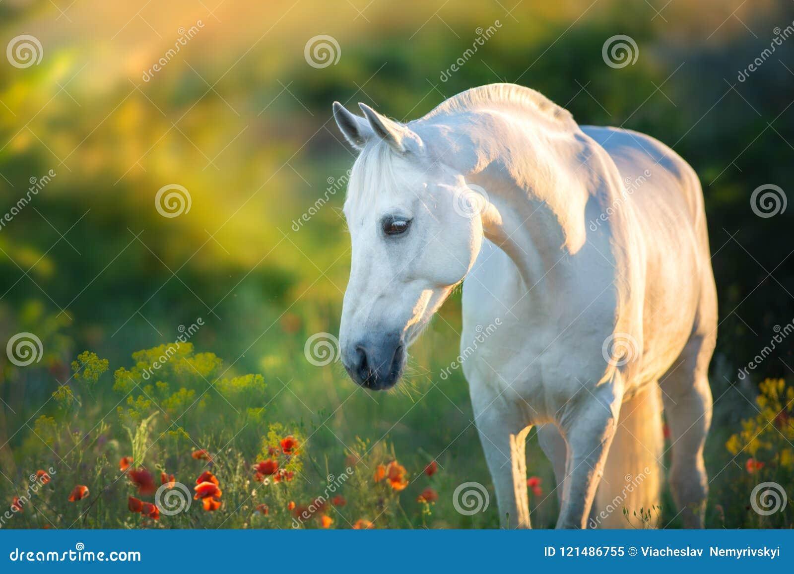 Białego konia portret przy zmierzchem