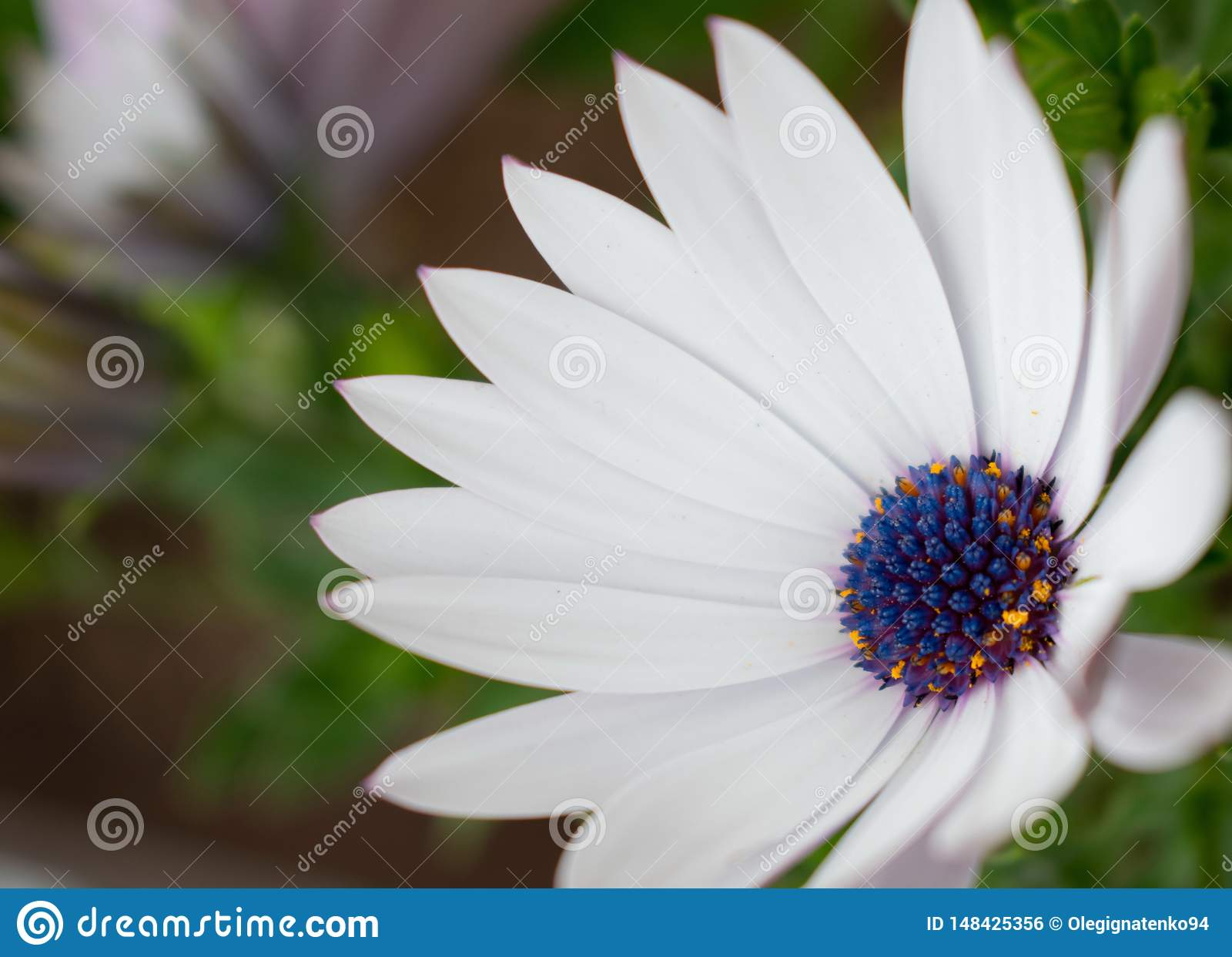 Bia?ego kwiatu Osteospermum ecklonis z bokeh