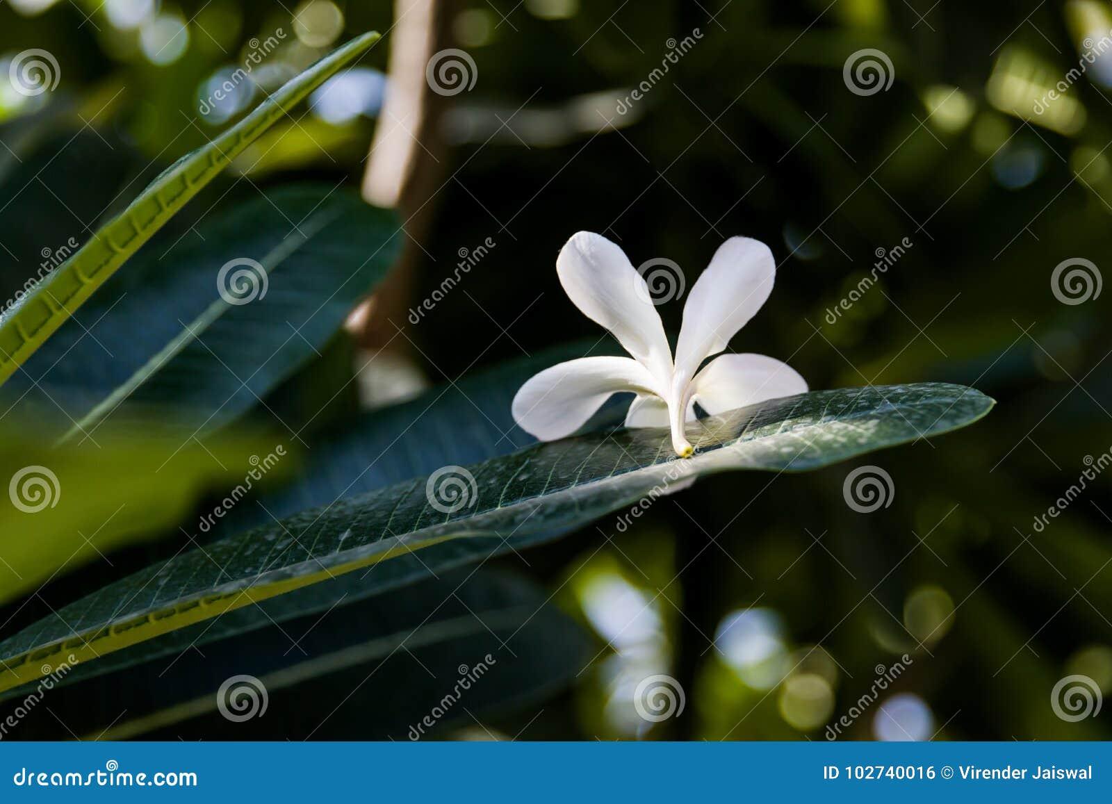 Białego kwiatu zbliżenia Kwiatonośni drzewa