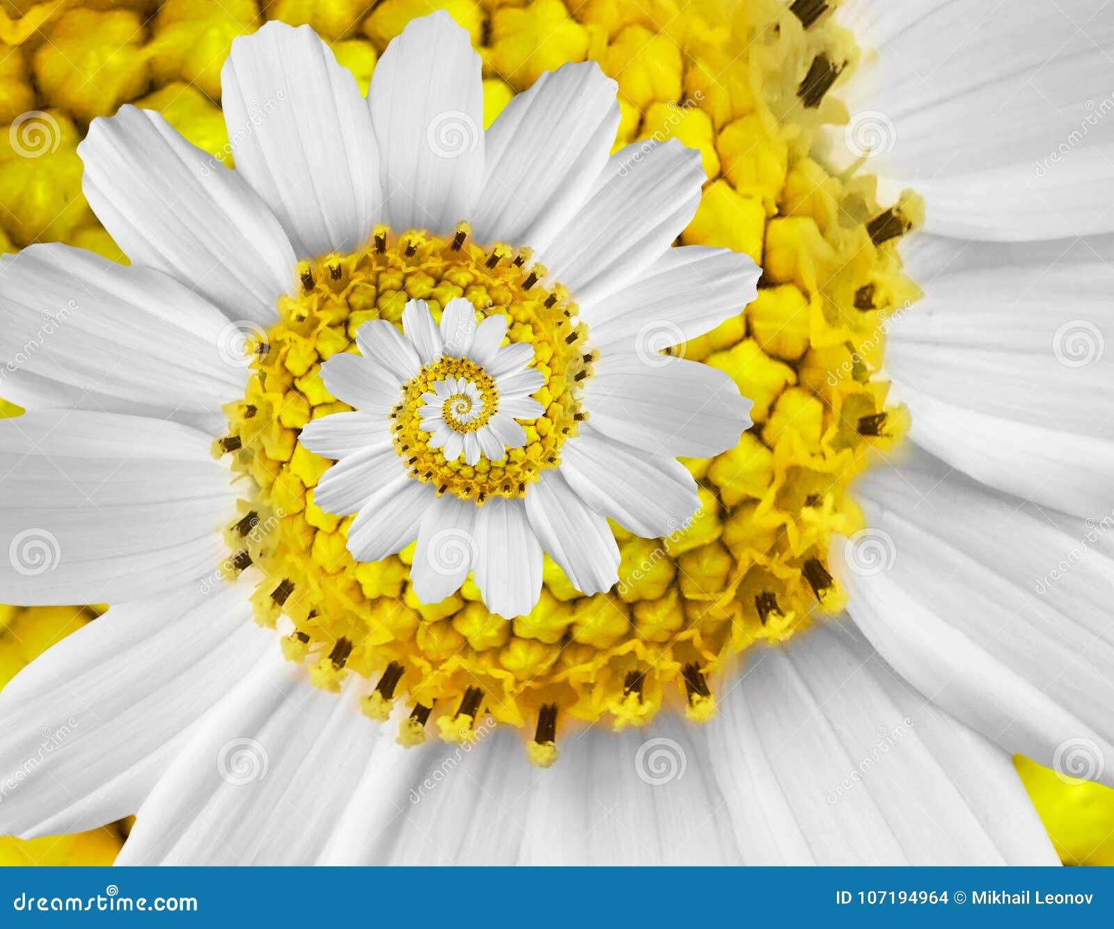 Białej żółtego rumianku stokrotki kosmosu kosmeya kwiatu spirali fractal skutka wzoru tła Białego kwiatu spirali abstrakcjonistyc