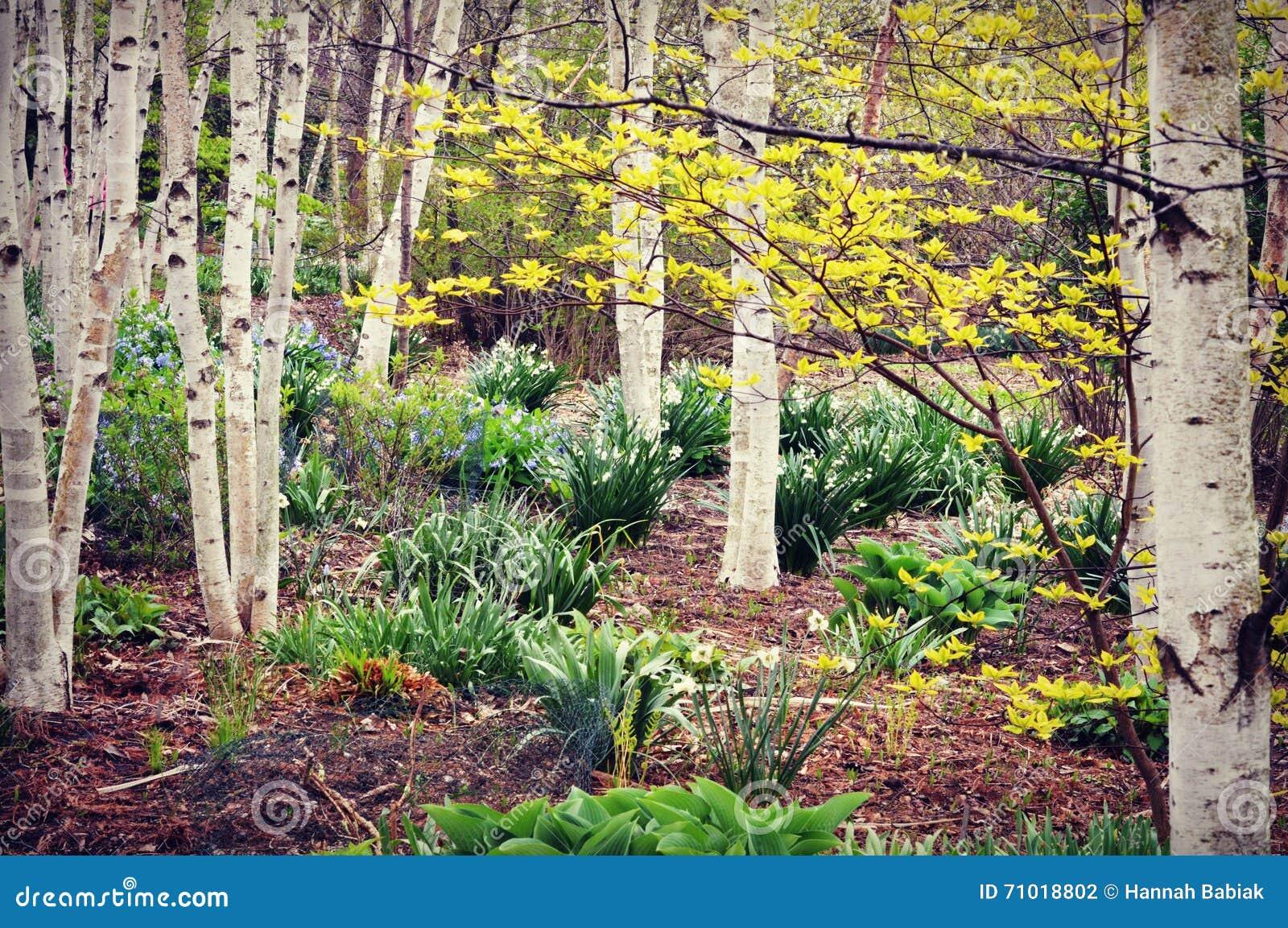 Białej brzozy drzewa las, wiosna kwiaty