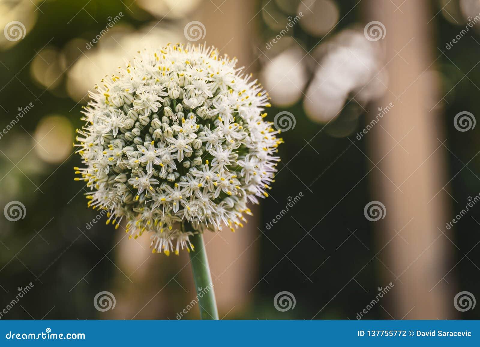 Białej cebuli kwiat