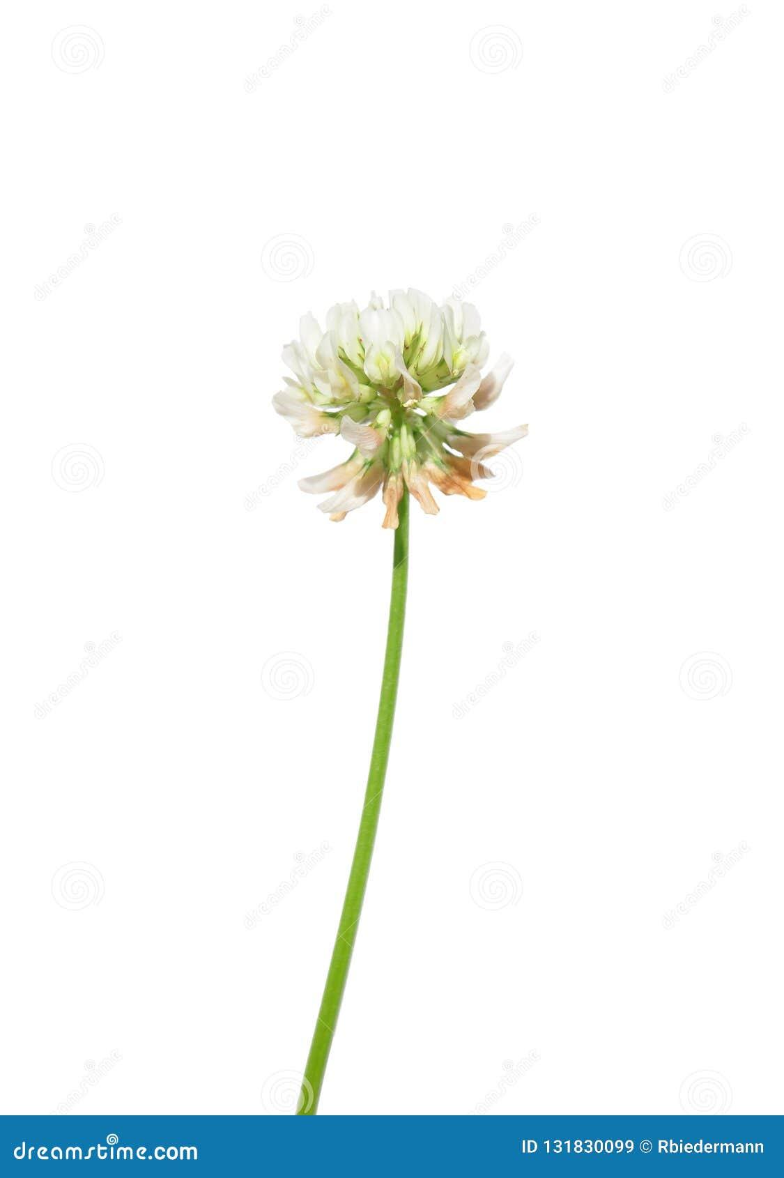 Białej koniczyny Trifolium repens