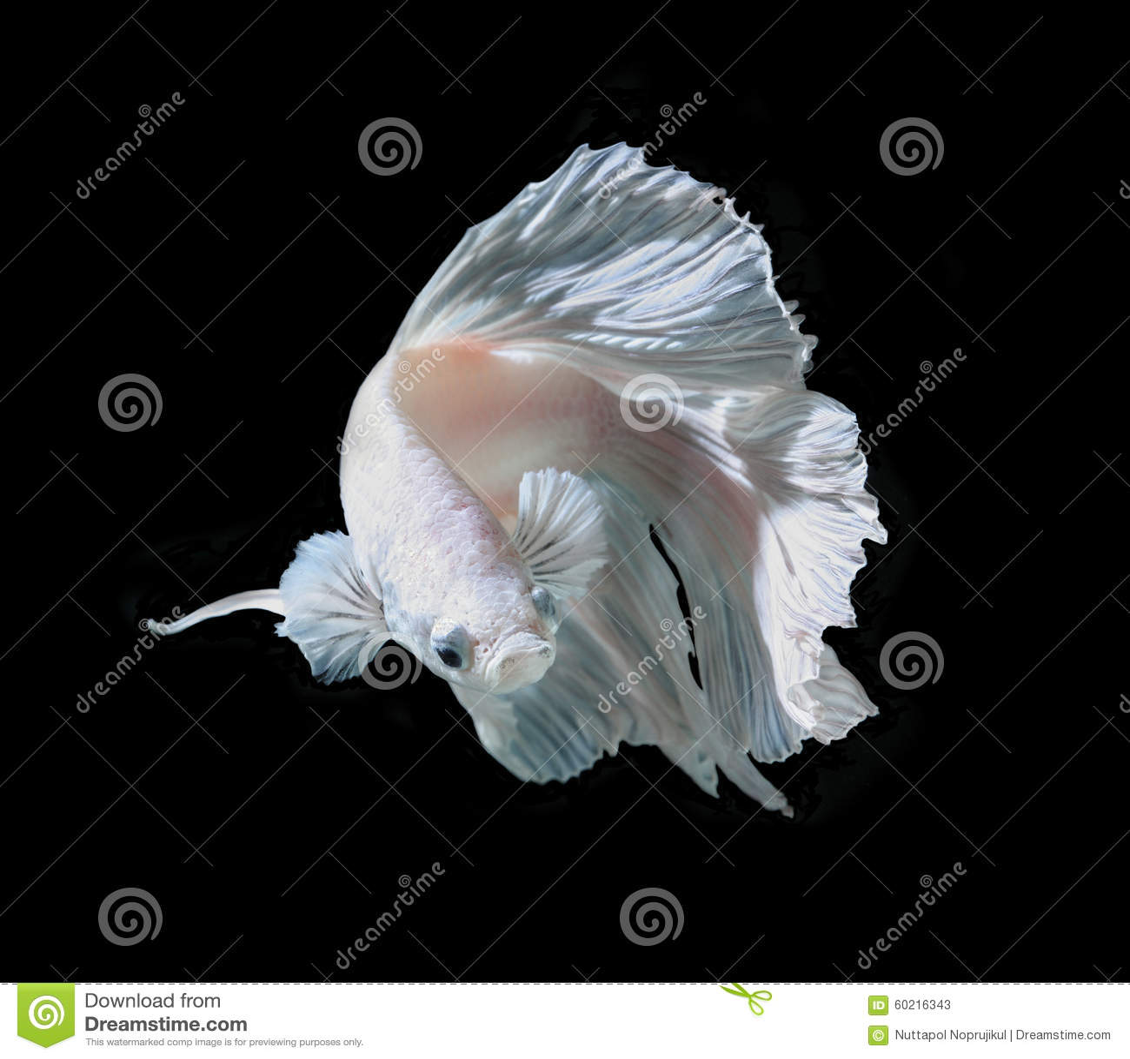 Białej Platt platyny boju Syjamska ryba Biały siamese fighti