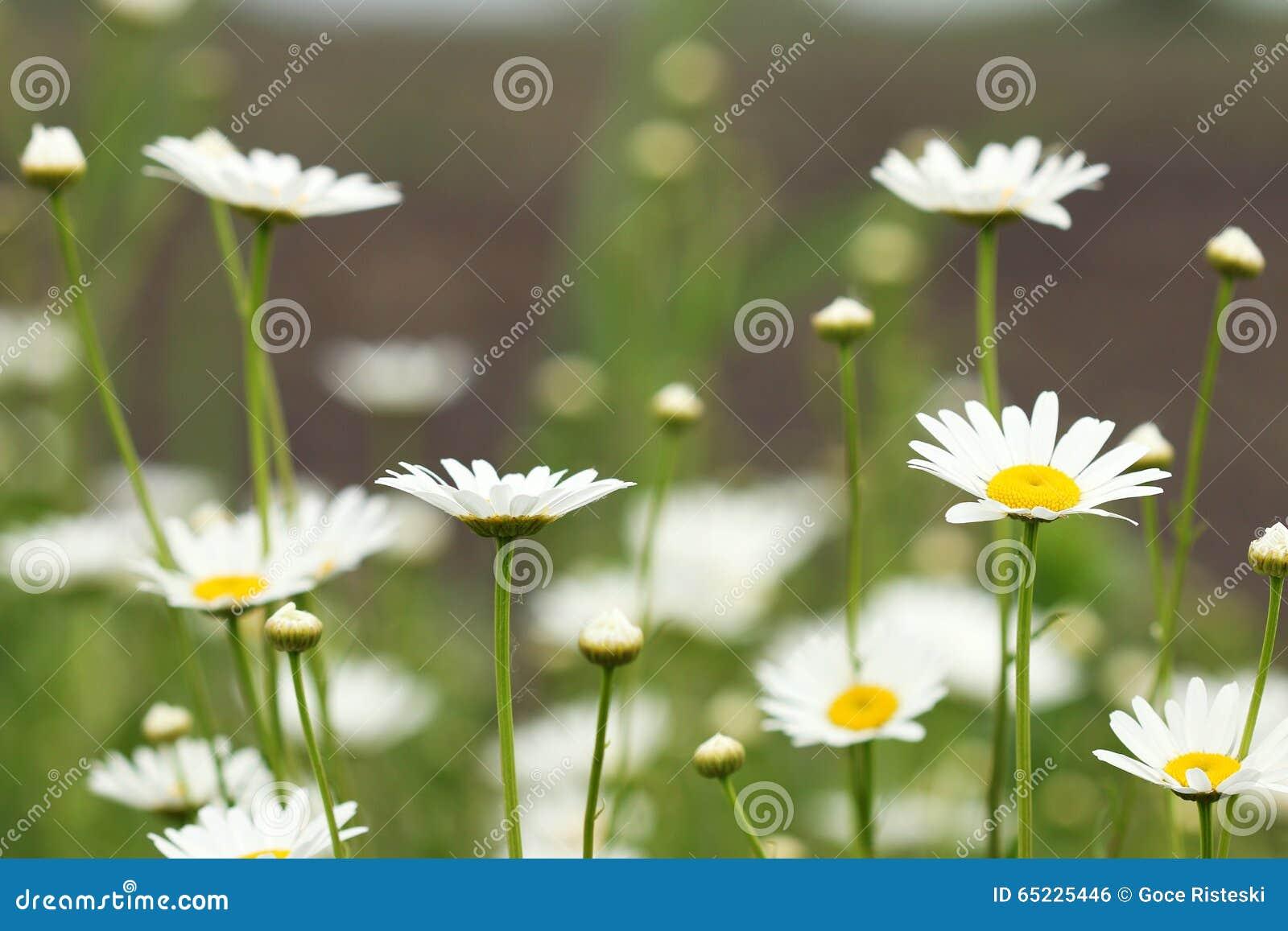 Białej stokrotki kwiatu łąki wiosna