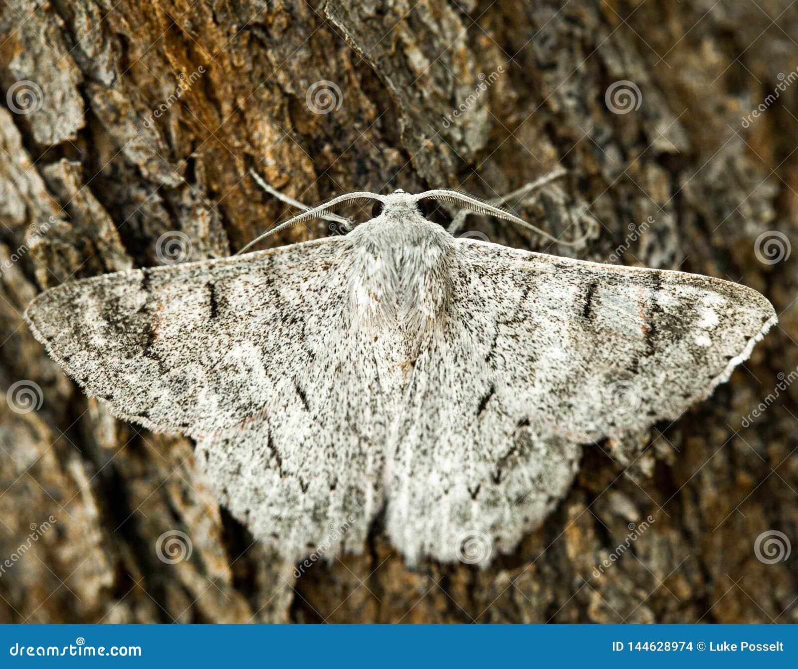 Biały ćma z skrzydłami rozprzestrzenia na drzewnej barkentynie makro-