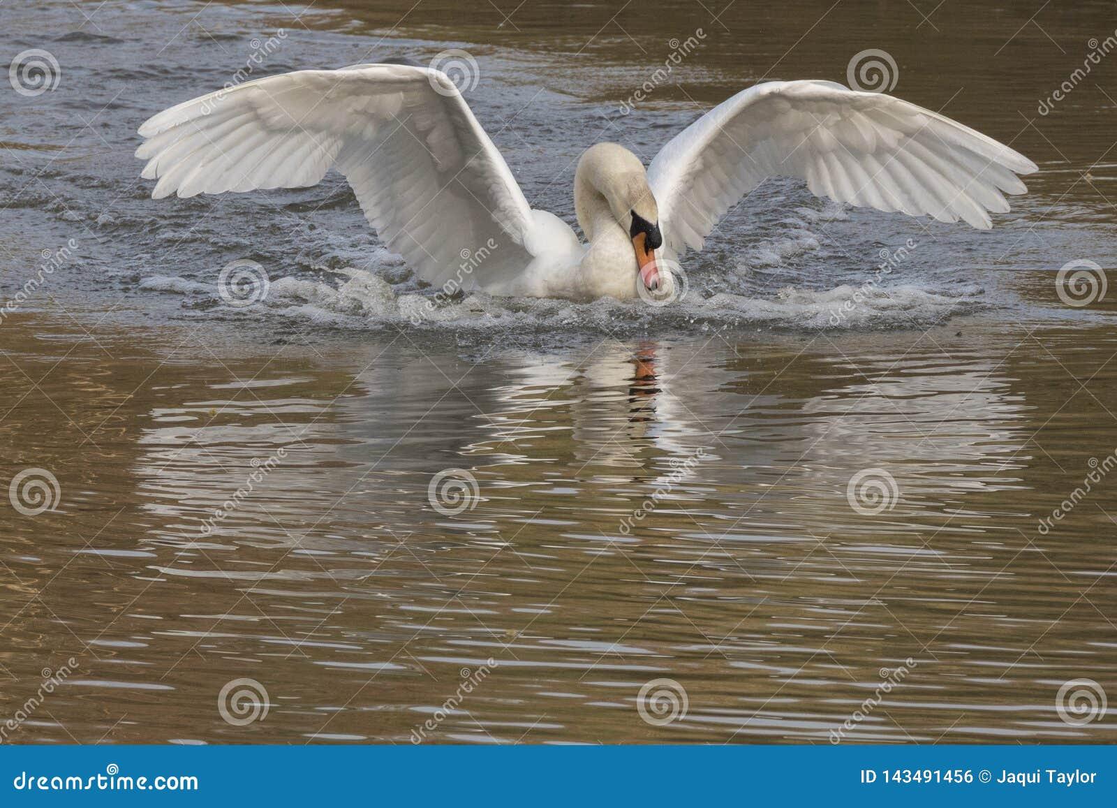 Biały łabędzi lądowanie