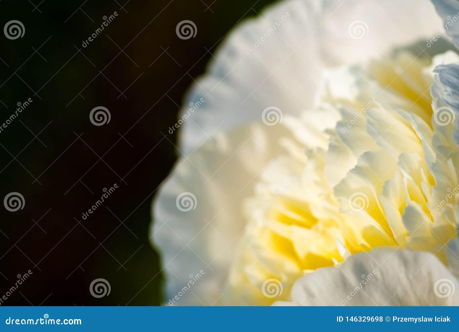 Biały - Żółty kwiat na dobrze, kopii przestrzeń na lewicie odizolowywającej