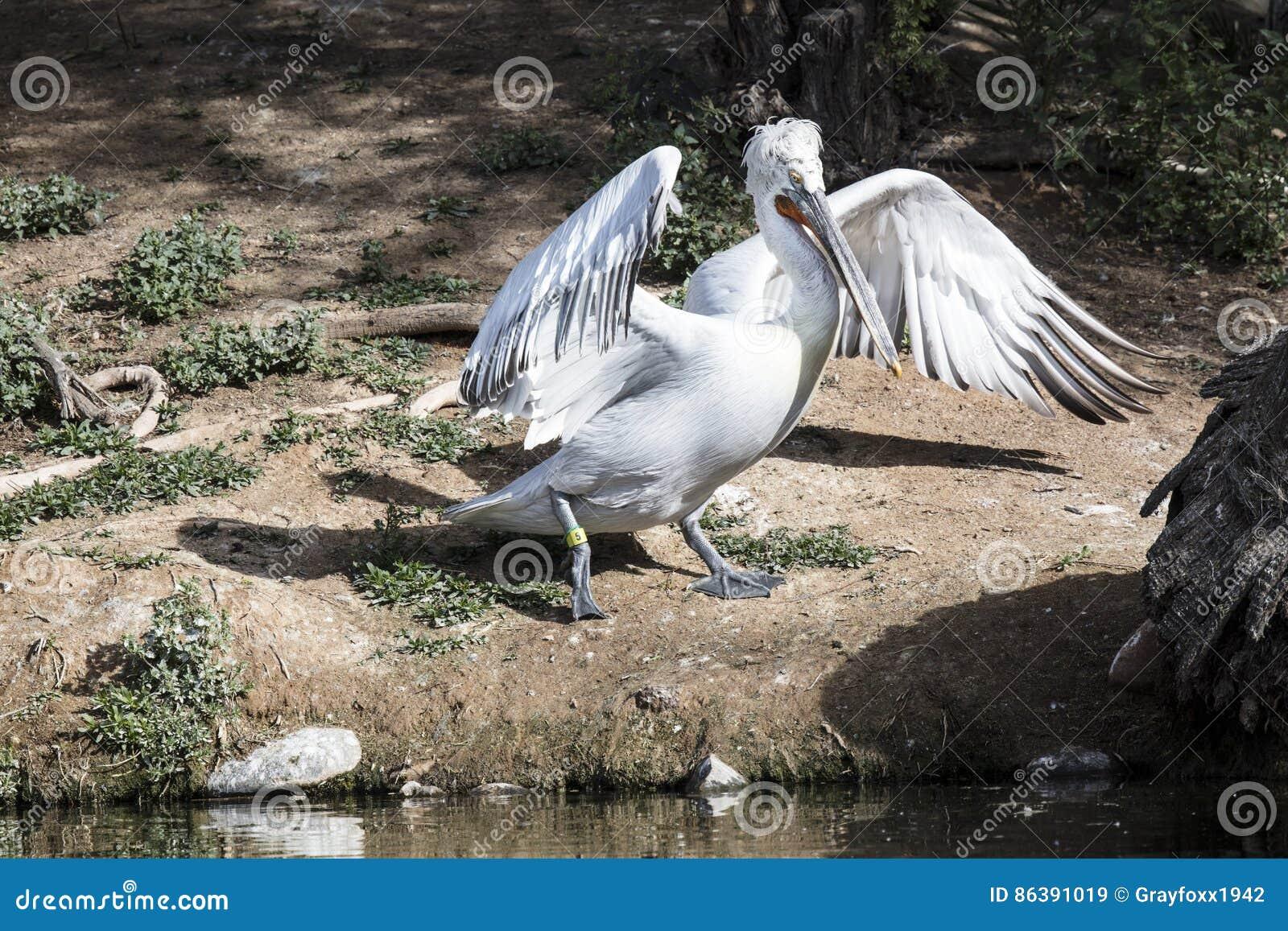 Biały amerykańscy pelikany