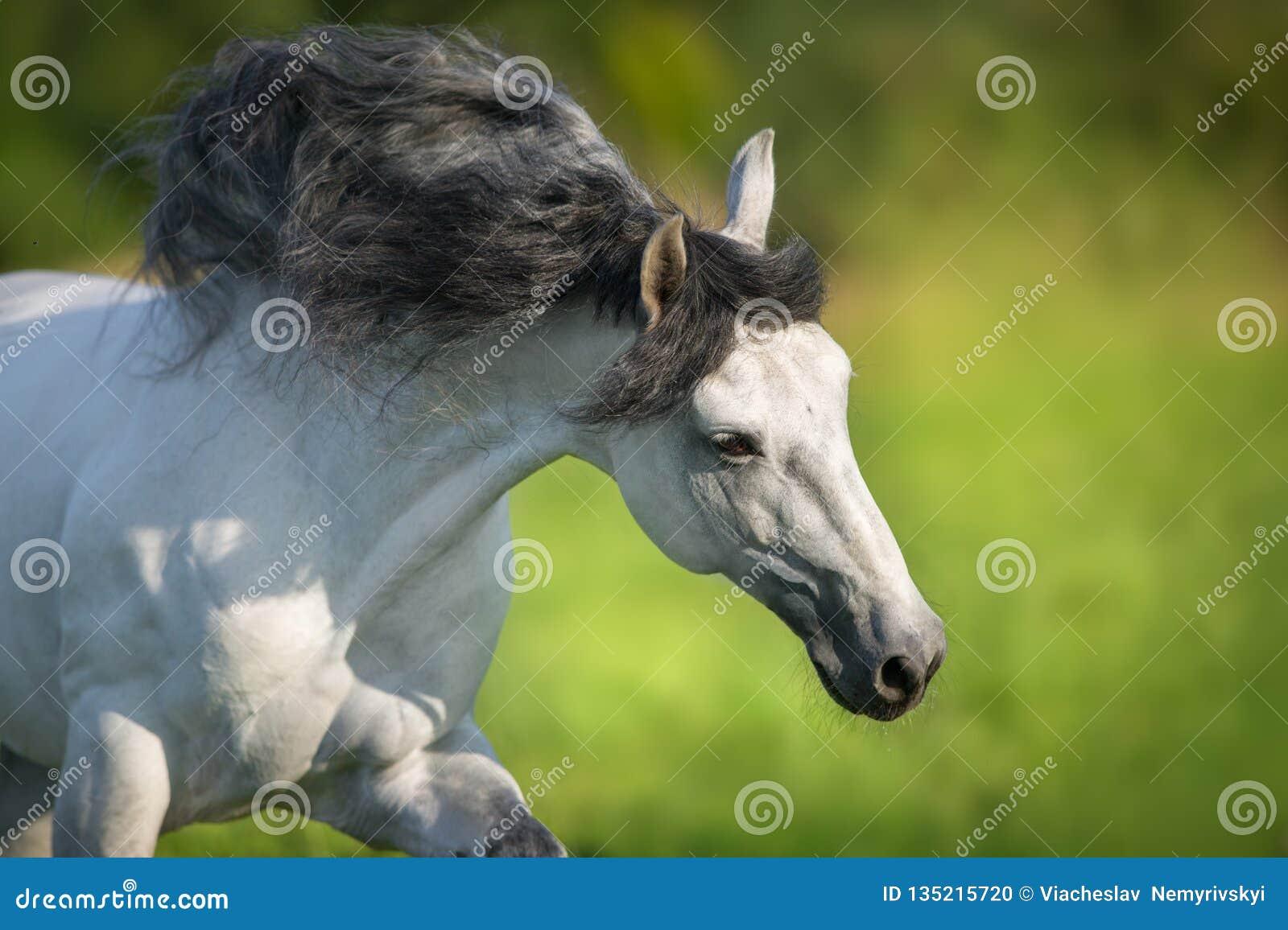 Biały andalusian koń