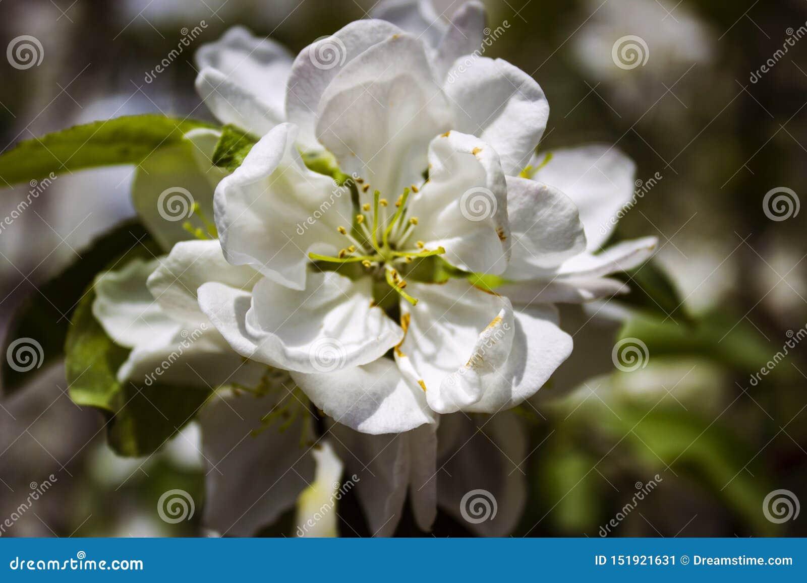 Biały Apple kwitnie na tle zieleni liście