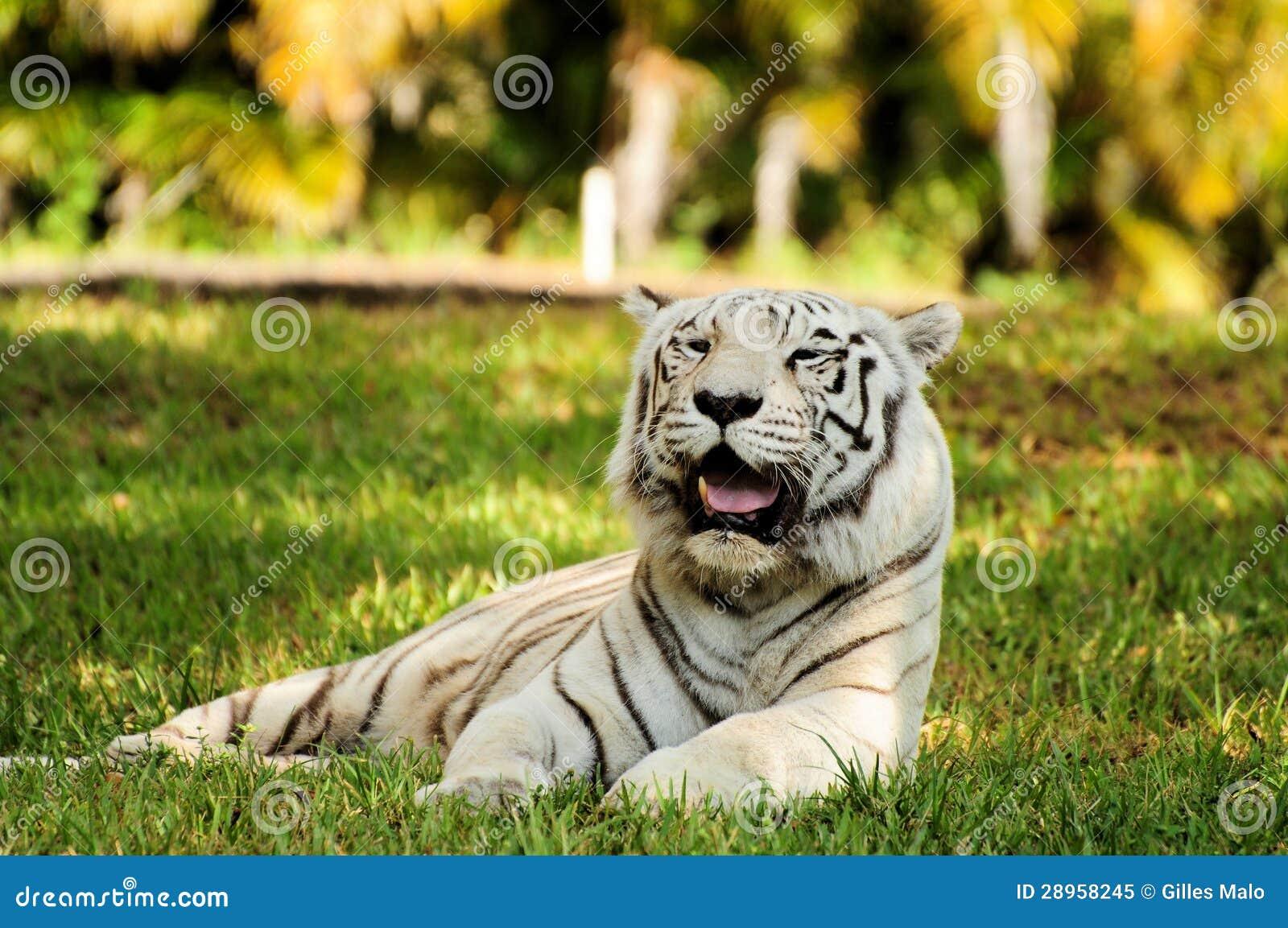Biały Bengalia tygrys