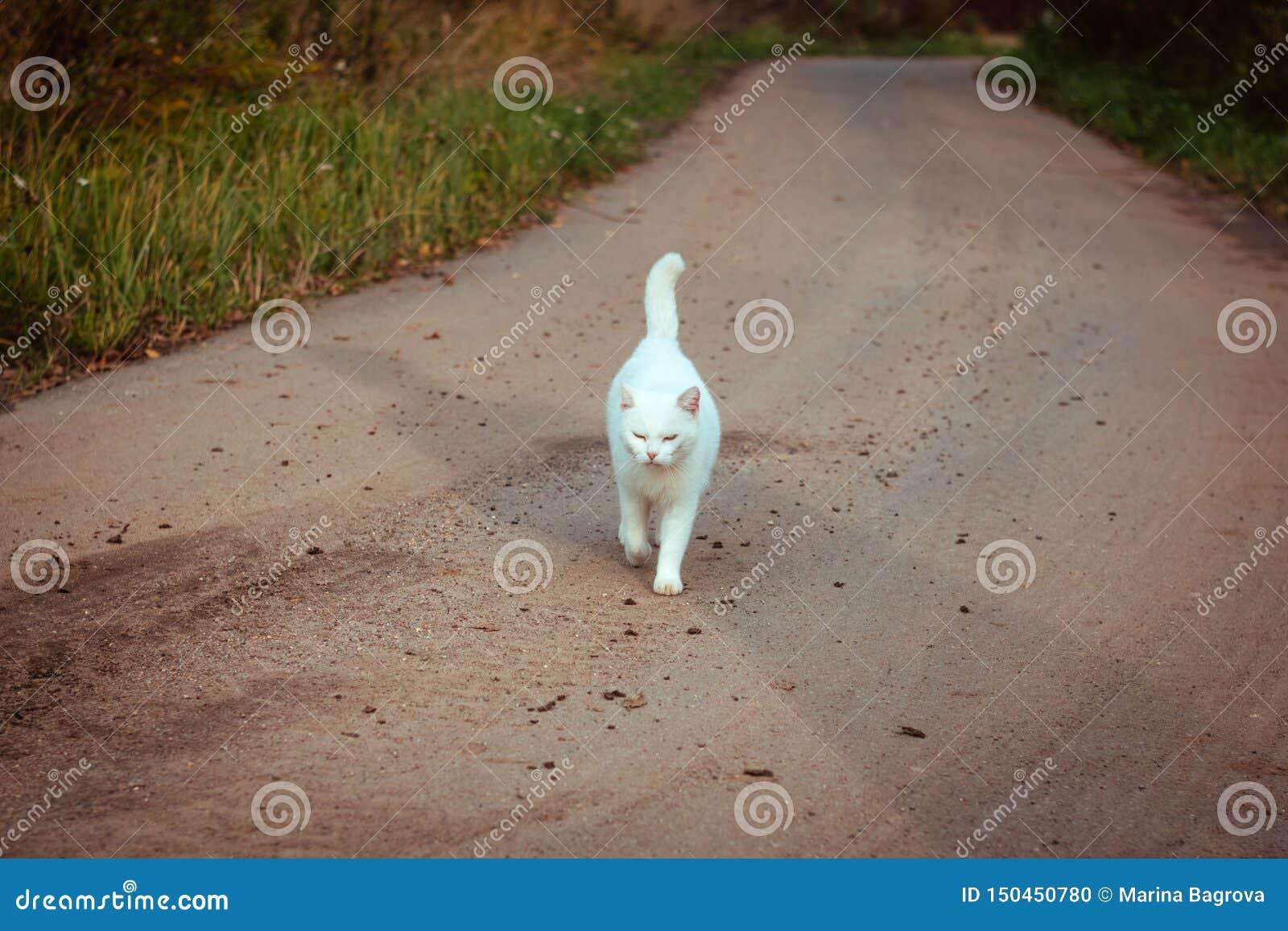 Biały bezdomny piękny kota odprowadzenie na drogowym, gapić się i mrużyć, Osamotniony przybłąkany kot szuka dom i właściciela