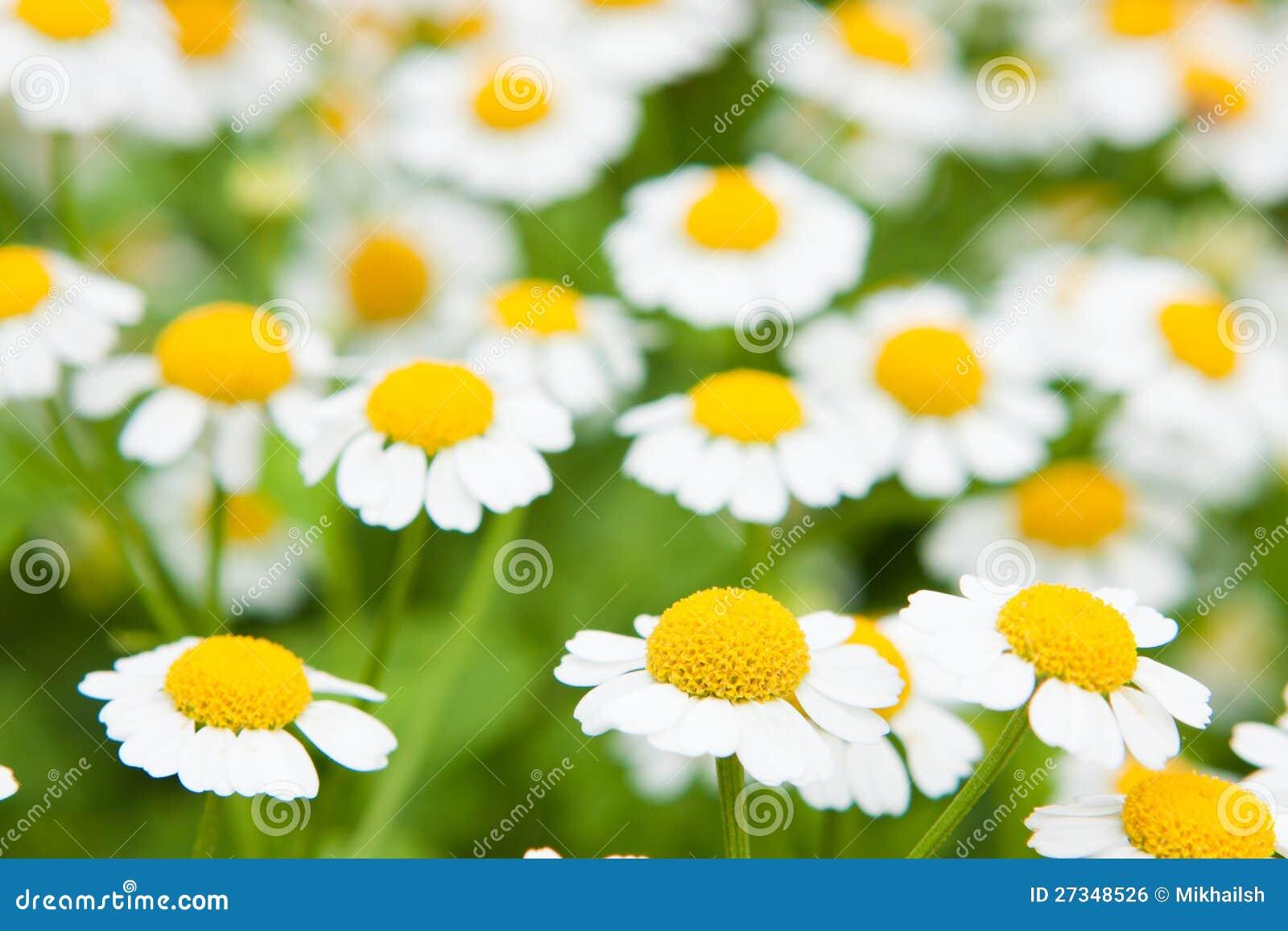 Biały Chamomile marguerite stokrotki kwiaty