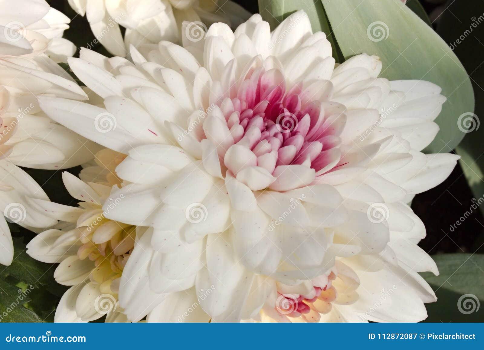 Biały chryzantema kwiat