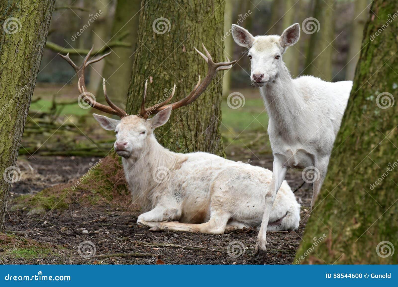 Biały czerwony rogacz lub biały jeleń