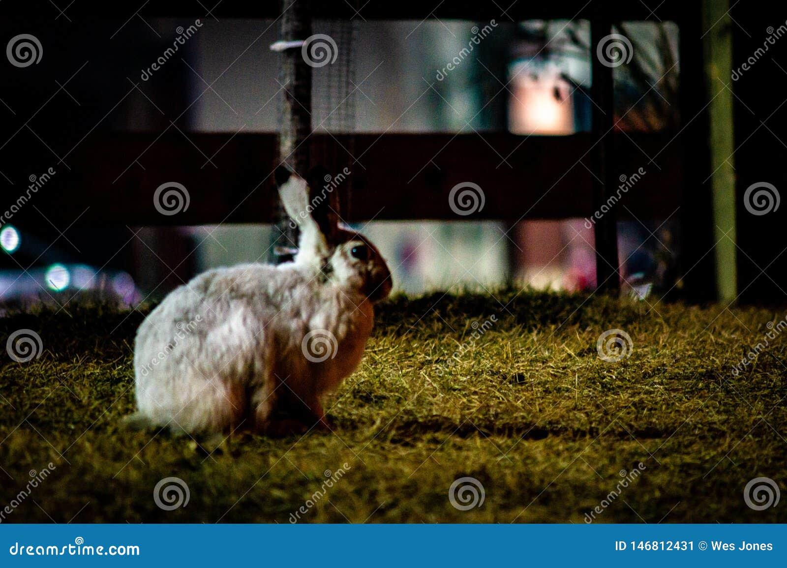 Biały dźwigarka królik samotnie przy nocą