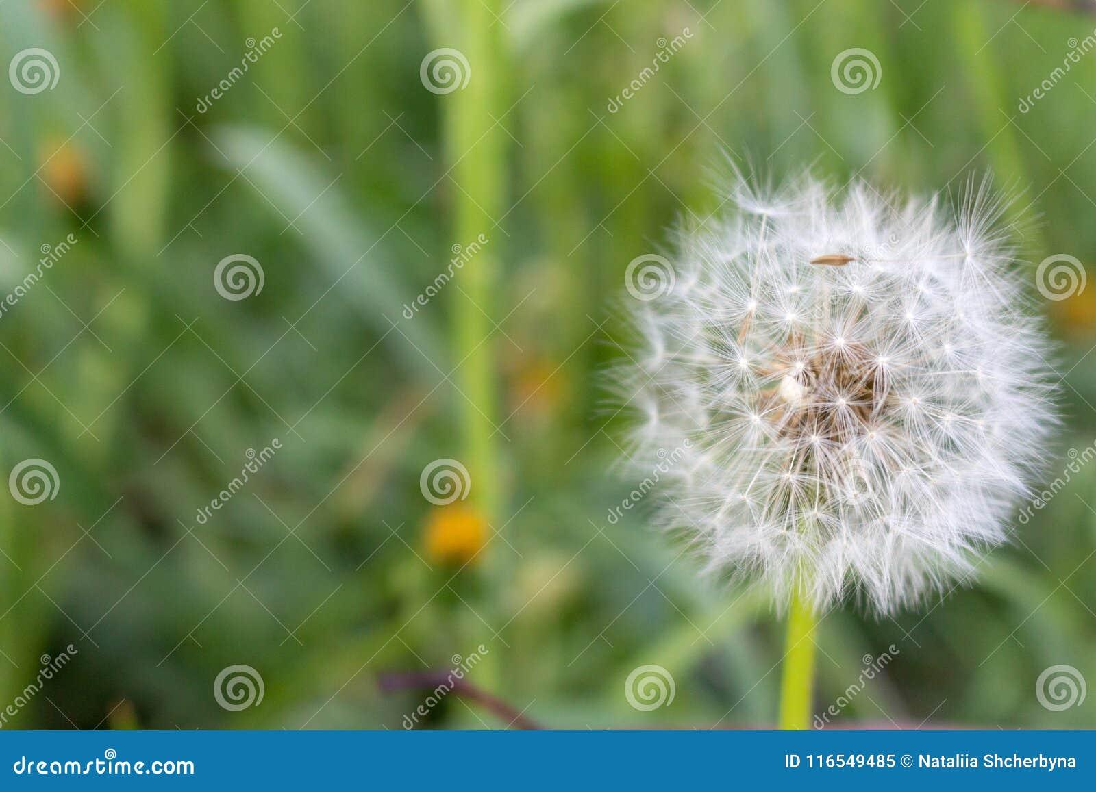 Biały dandelion kwiat w unfocused zielonej trawie zbliżenia kolorów kwiatu czerwieni kolor żółty Biały blowball makro- Śródpolny