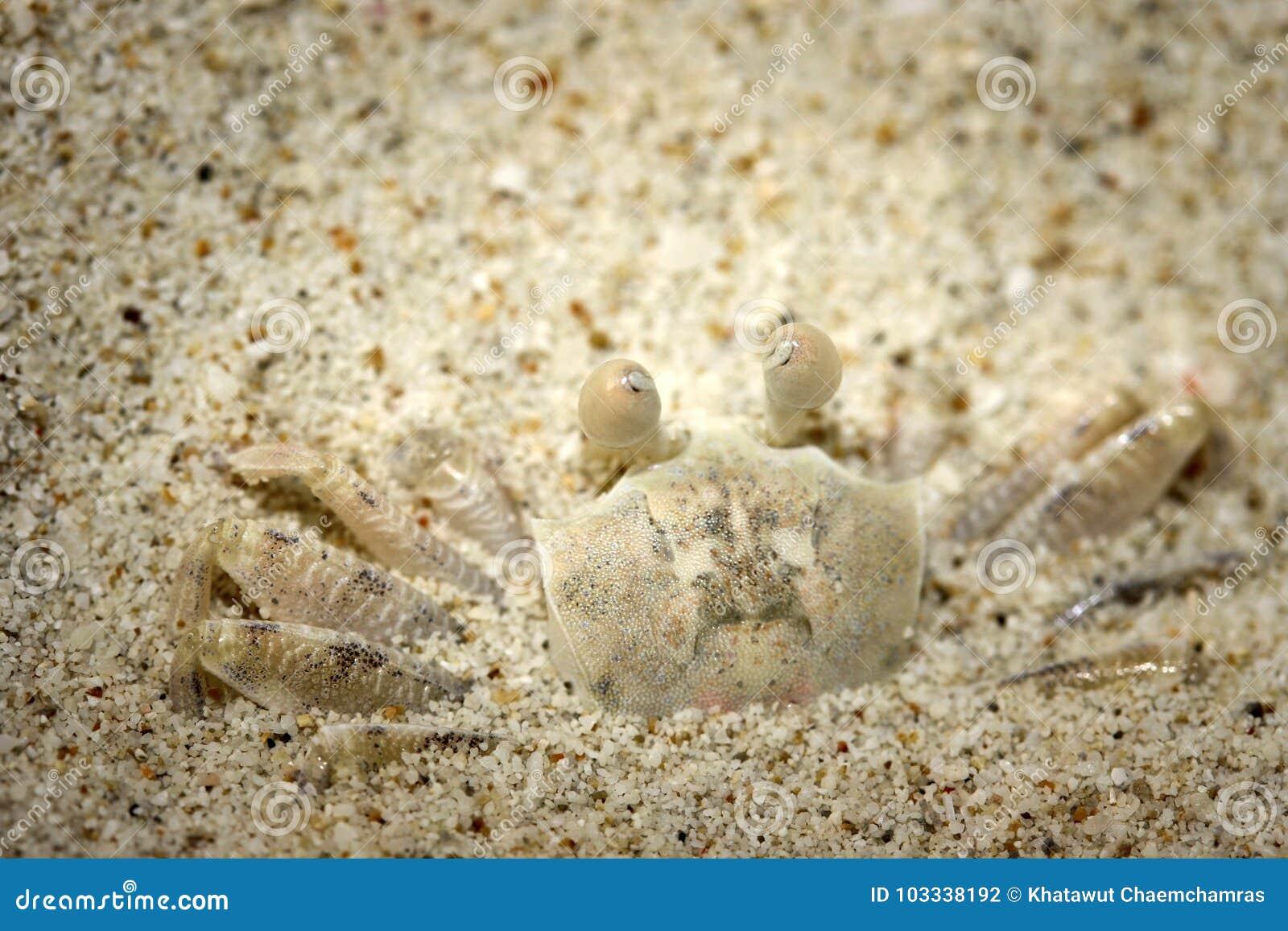 Biały ducha kraba przebranie na białej piaskowatej plaży