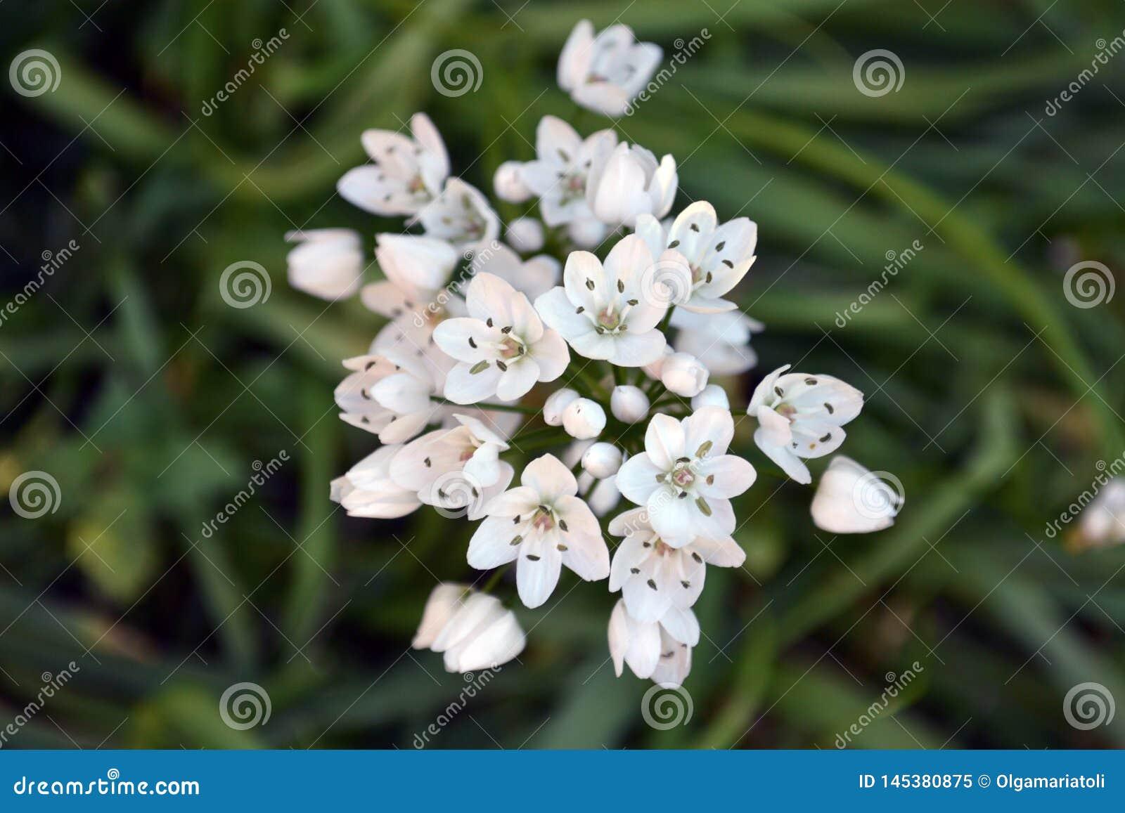 Biały dziki czosnek kwitnie z góry