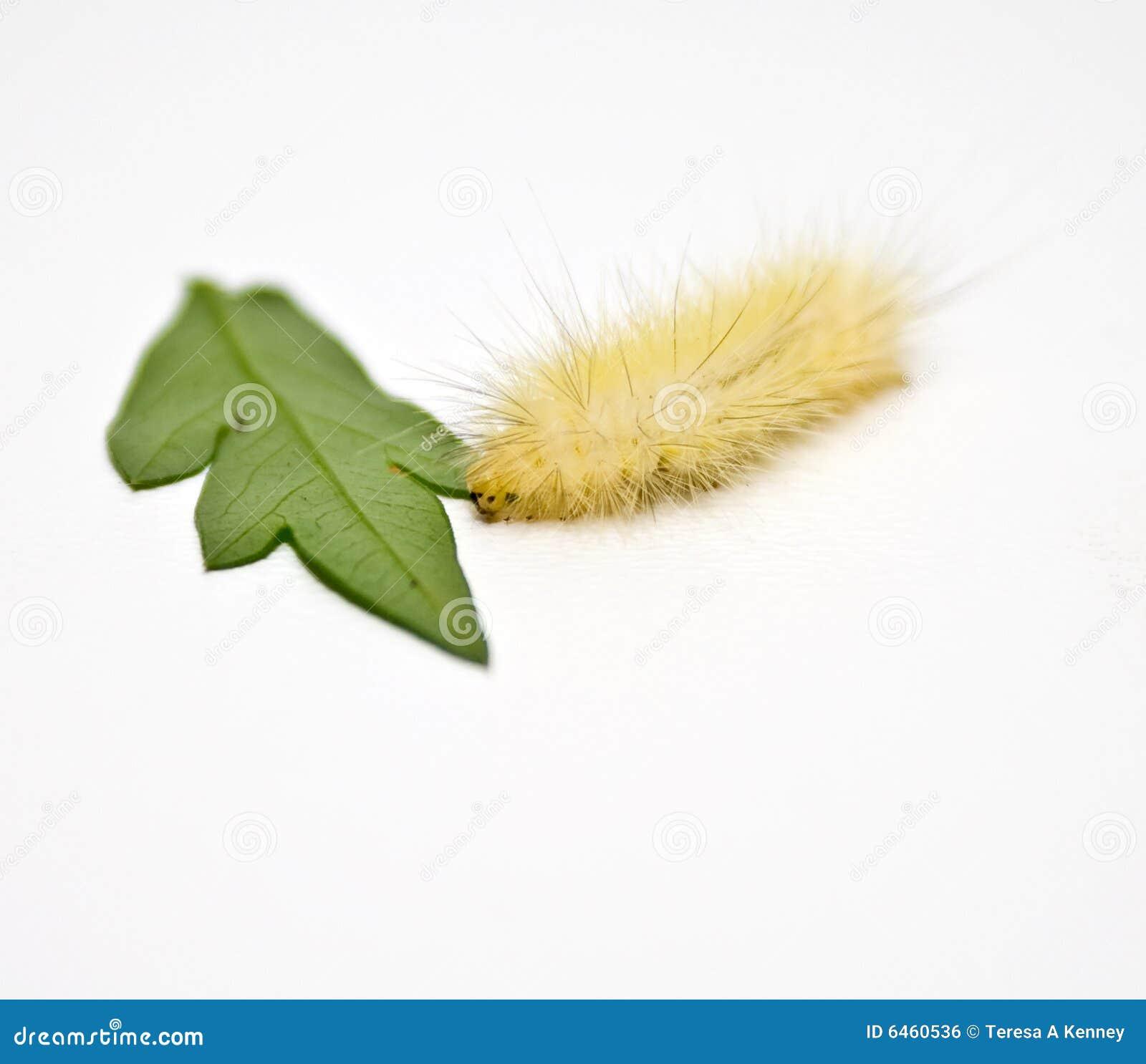 Biały gąsienicowy woolly