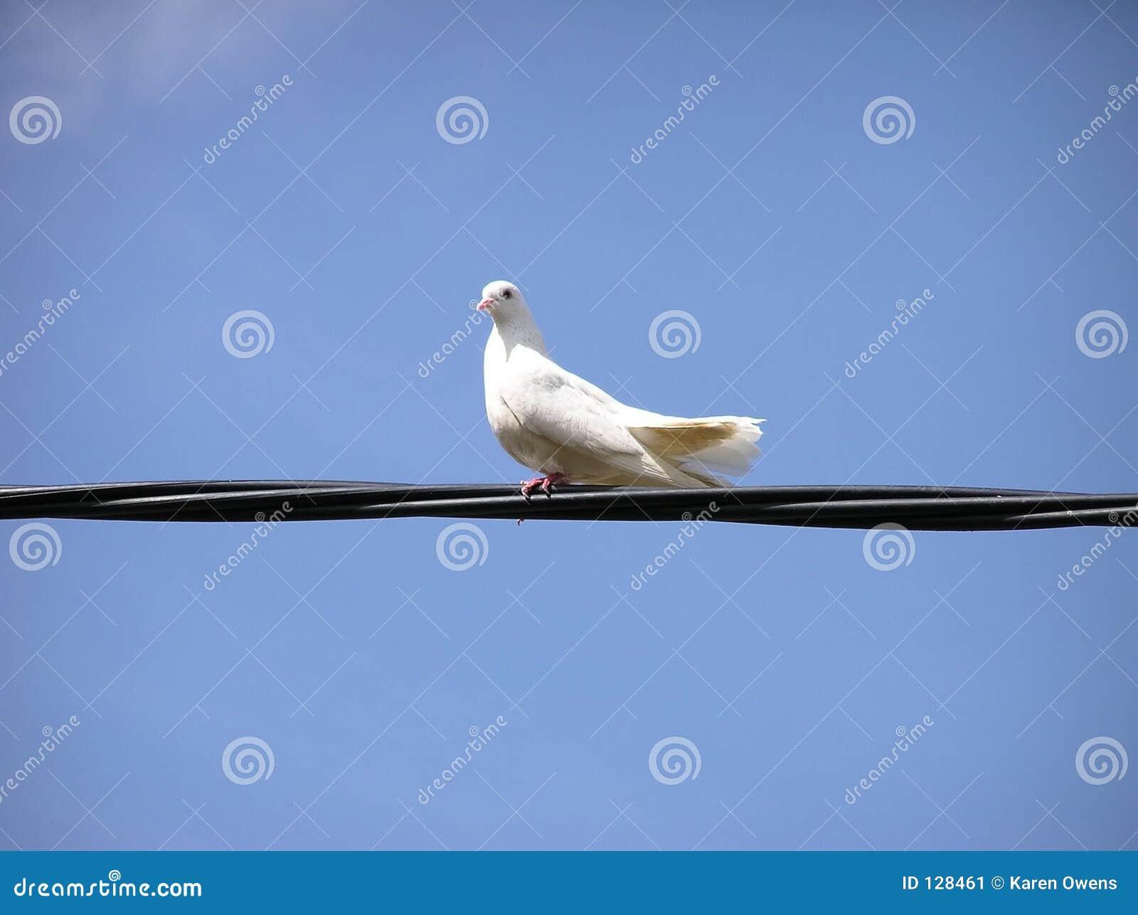 Biały Gołąbka