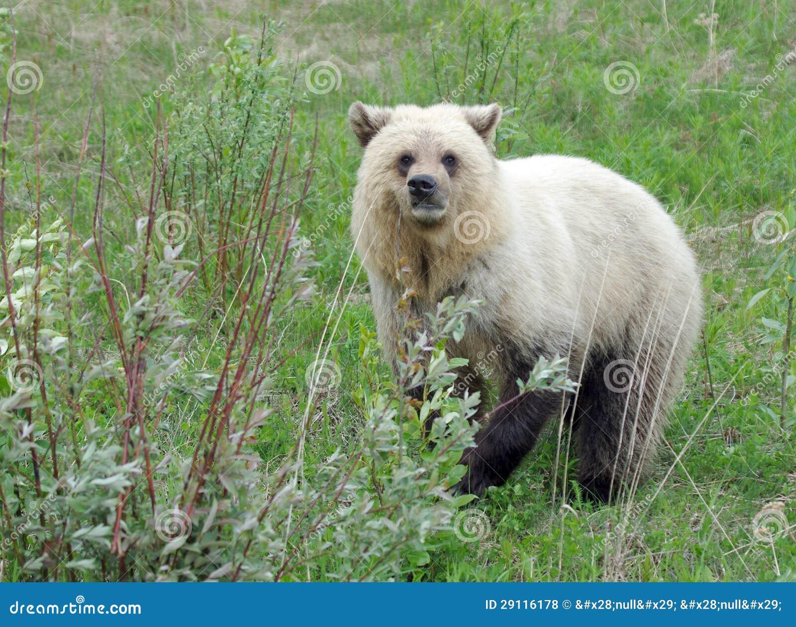 Biały grizzly