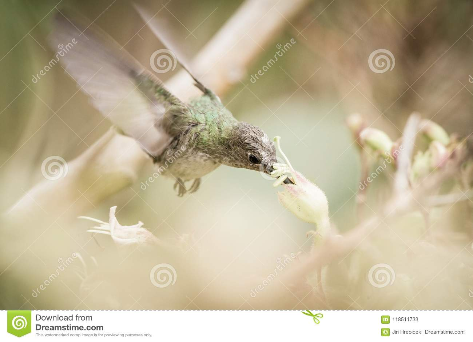 Biały Hummingbird w Cuzco, Peru