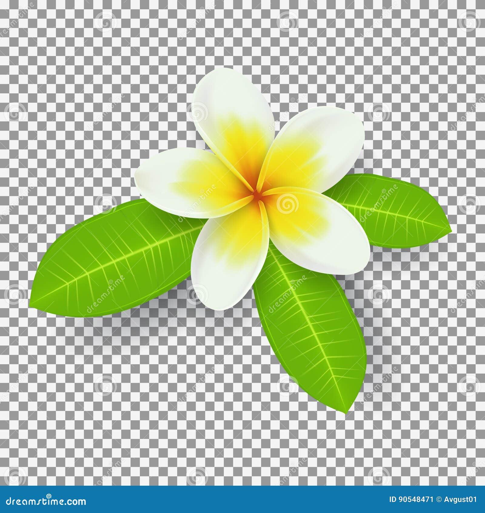 Biały i żółty plumeria kwiat odizolowywający na przejrzystym