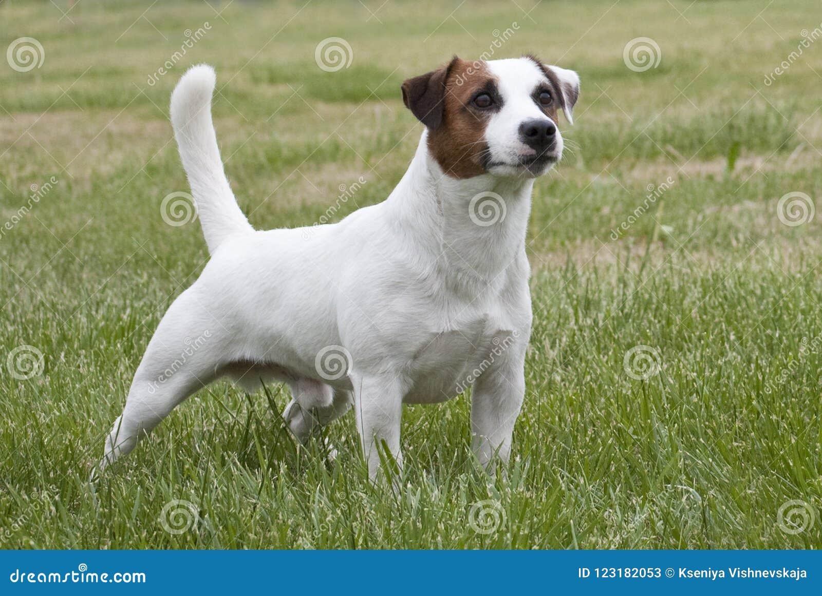 Biały i brown Jack Russell terier