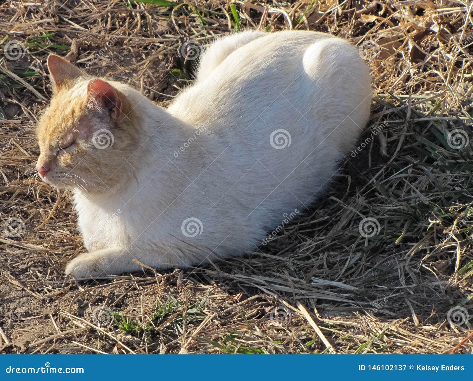 Biały i Pomarańczowy kot w słomie