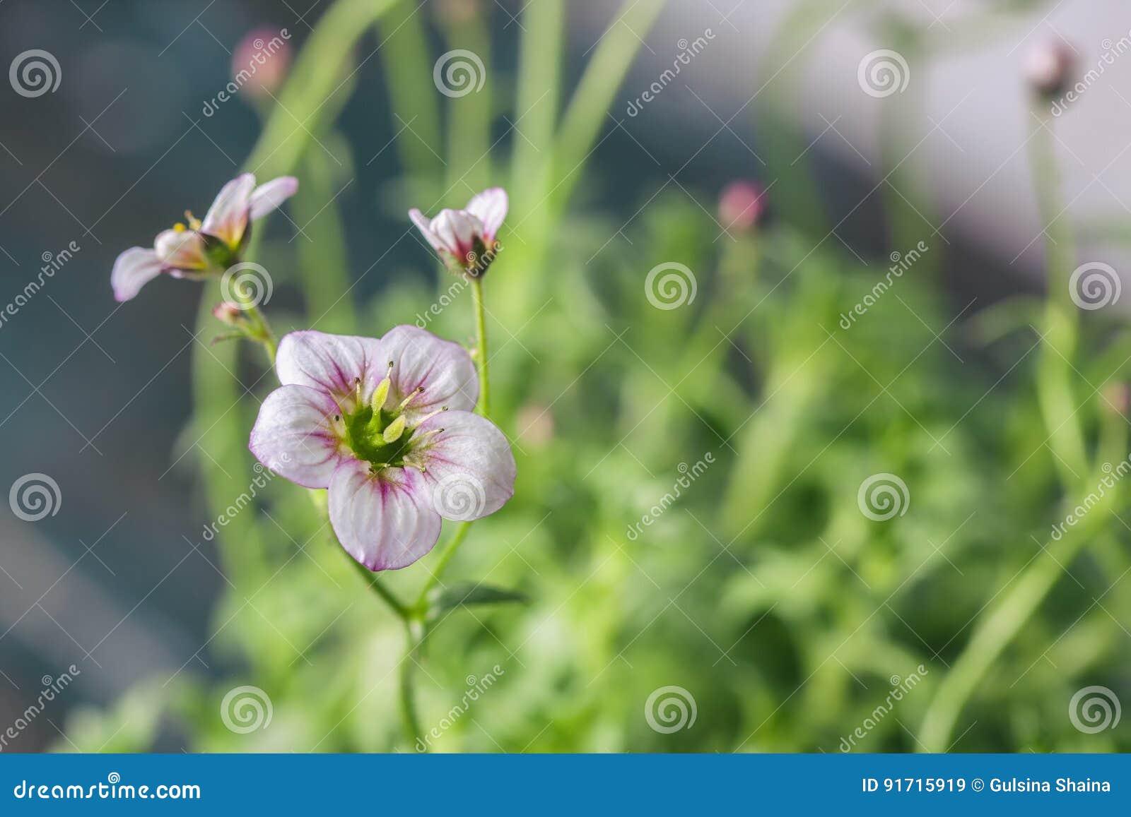 Biały i różowy badan kwitnie makro- zbliżenie